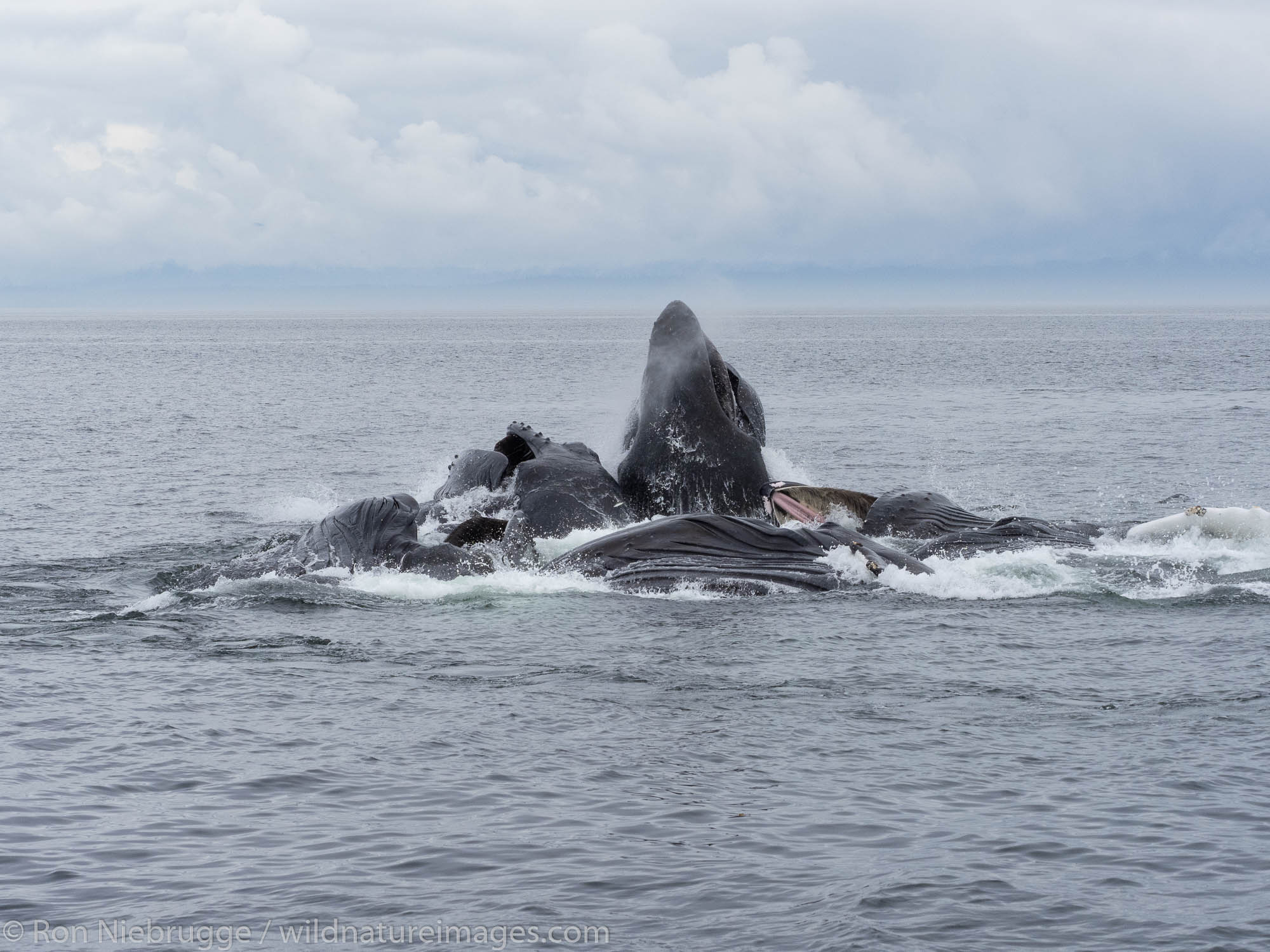 Bubble-net feeding humpback whales, Tongass National Forest, Alaska.