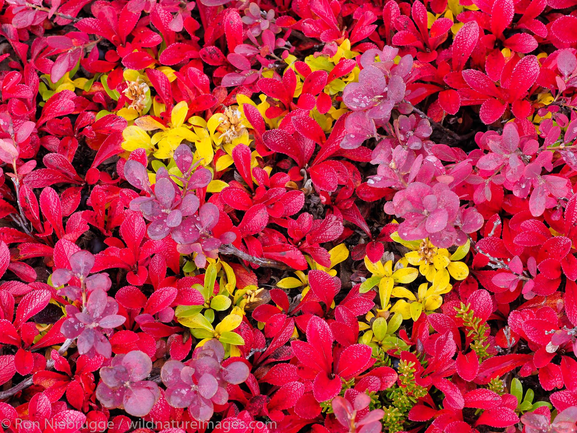 Autumn colors along the Dalton Highway Brooks Range Alaska.