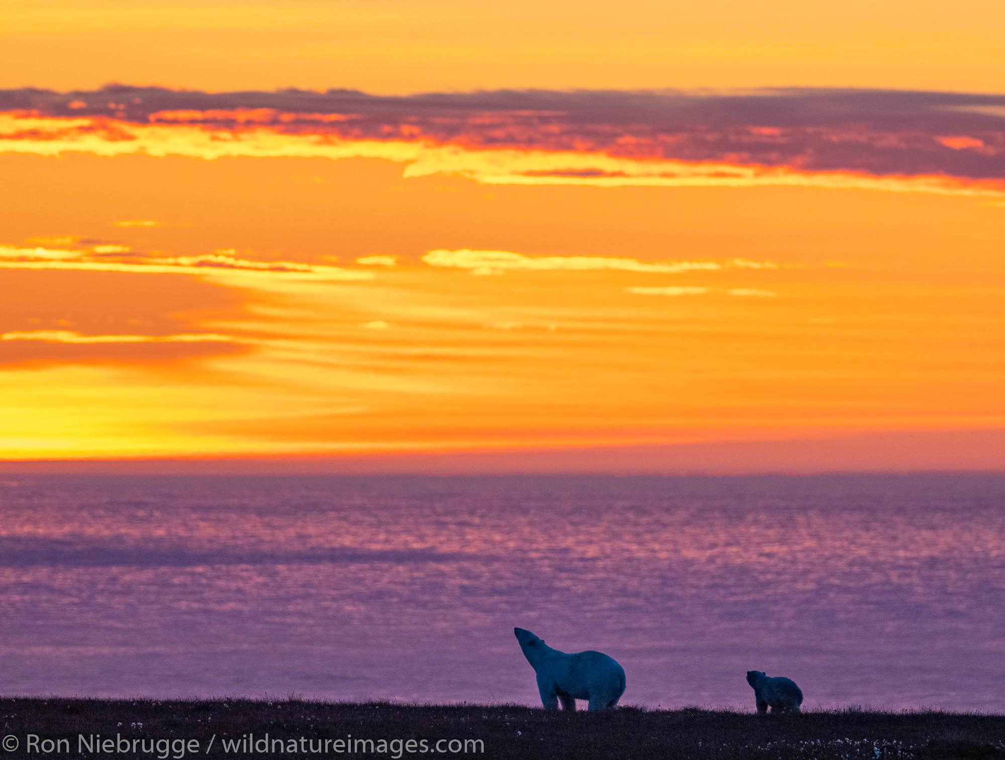 Polar bear (Ursus maritimus) at sunset, Arctic National Wildlife Refuge Alaska.