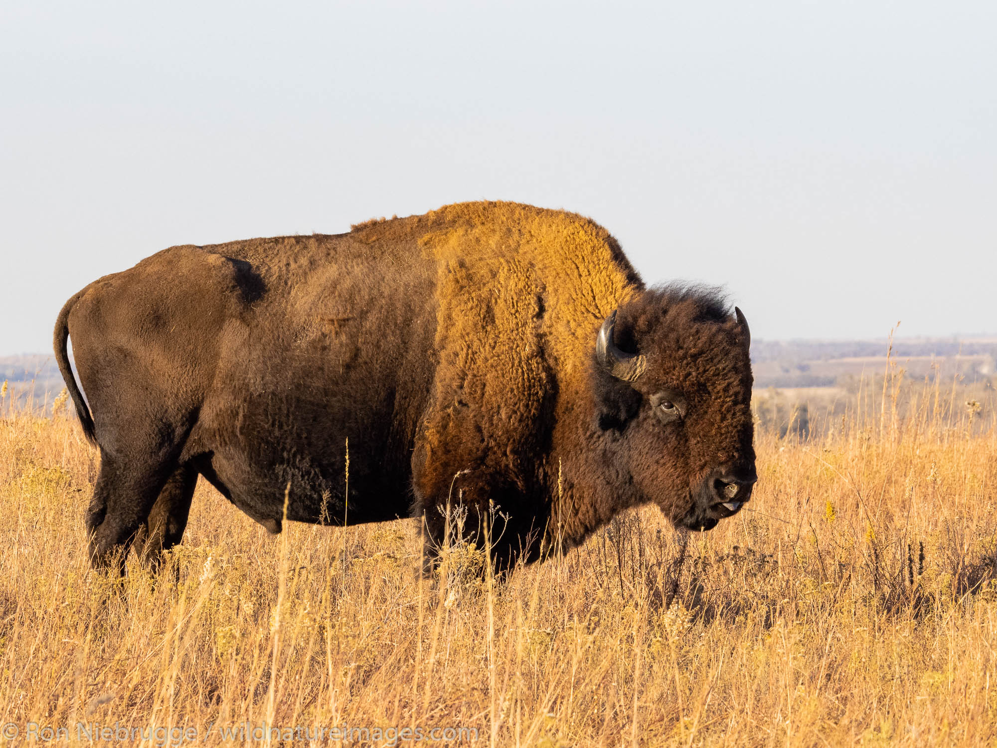 Bison on the Maxwell Wildlife Refuge, near Canton, Kansas