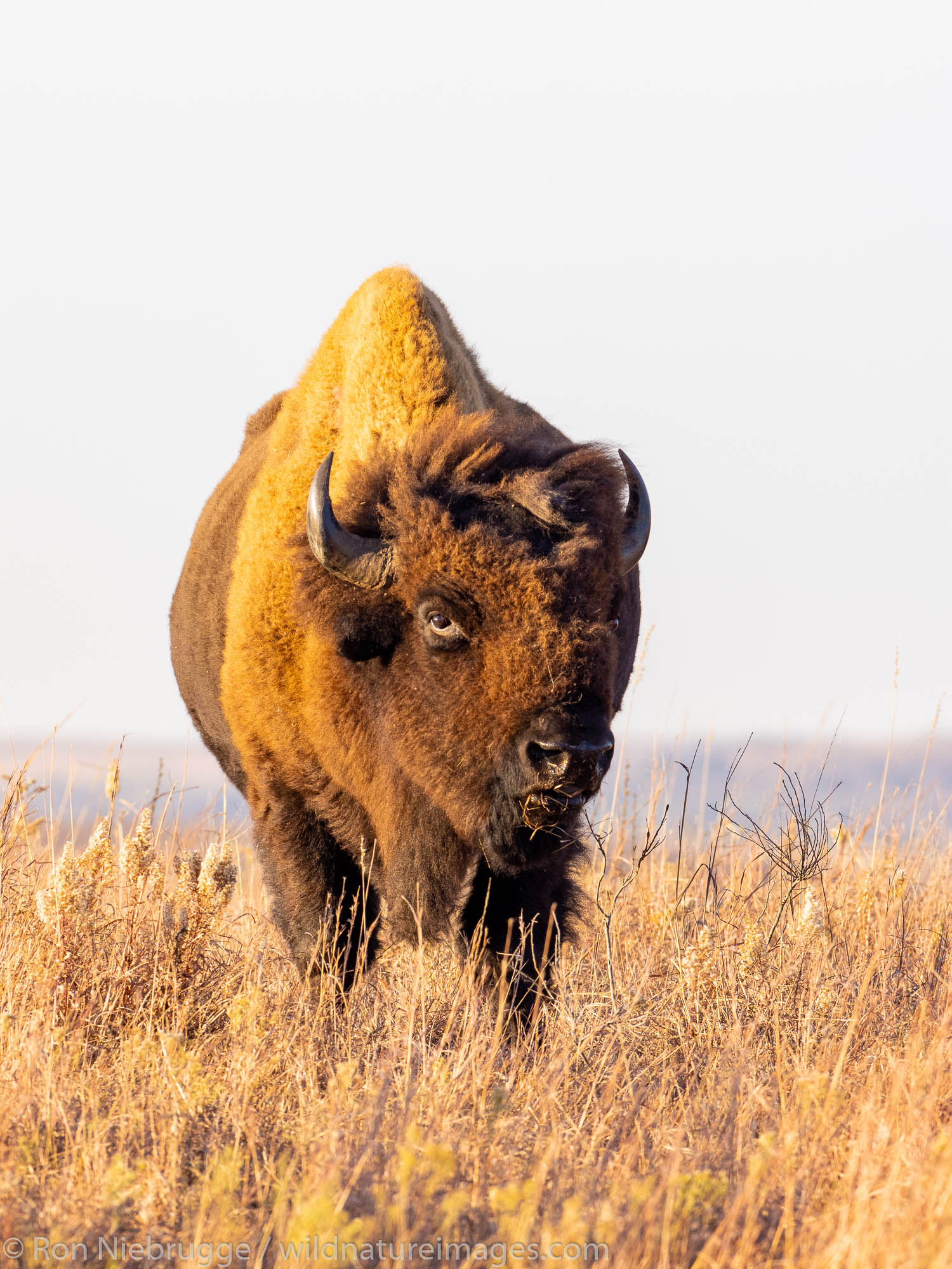 Bison on the Maxwell Wildlife Refuge, near Canton, Kansas