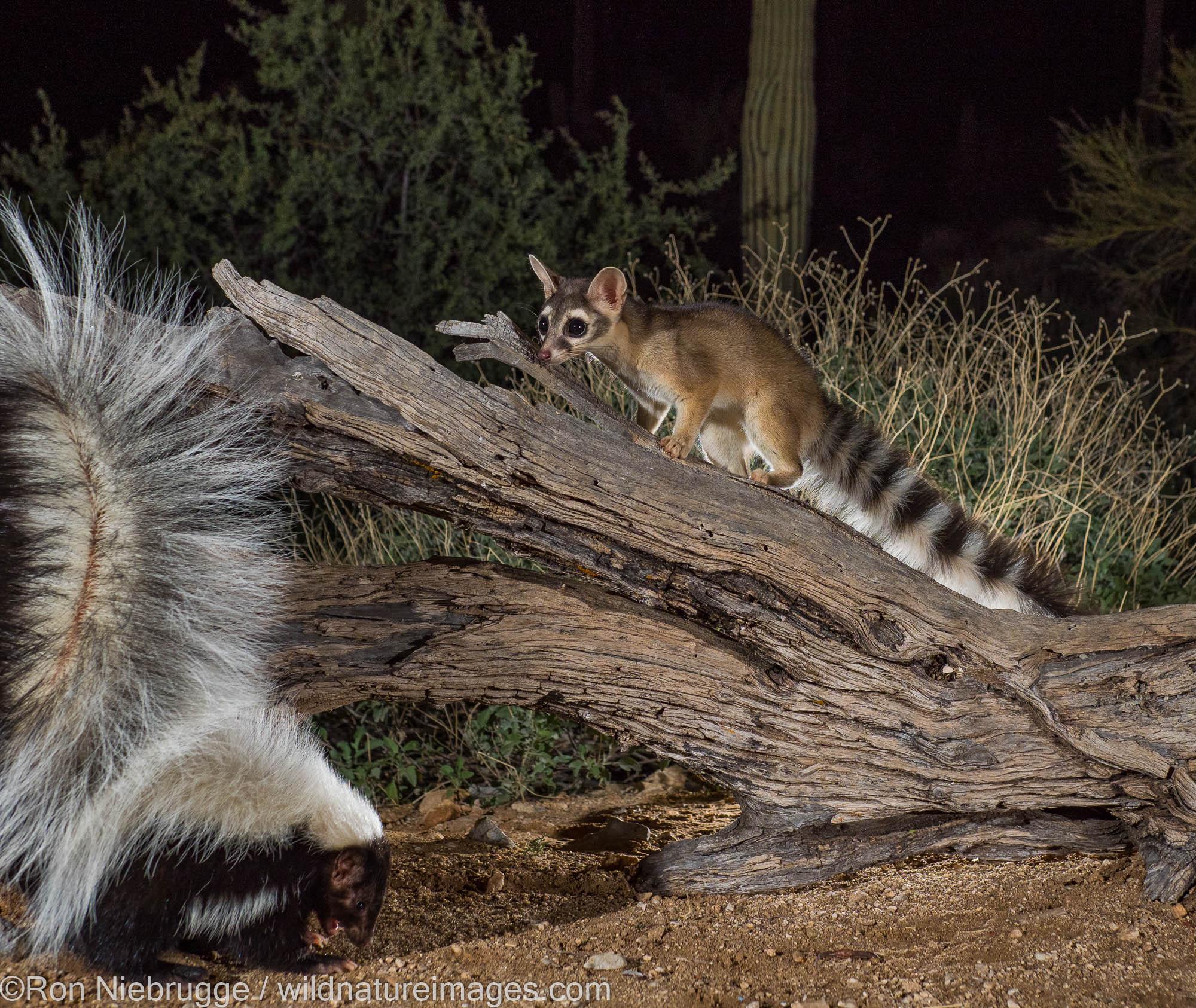 Ringtail and Hooded Skunk, Tortolita Mountains, Marana, near Tucson, Arizona.