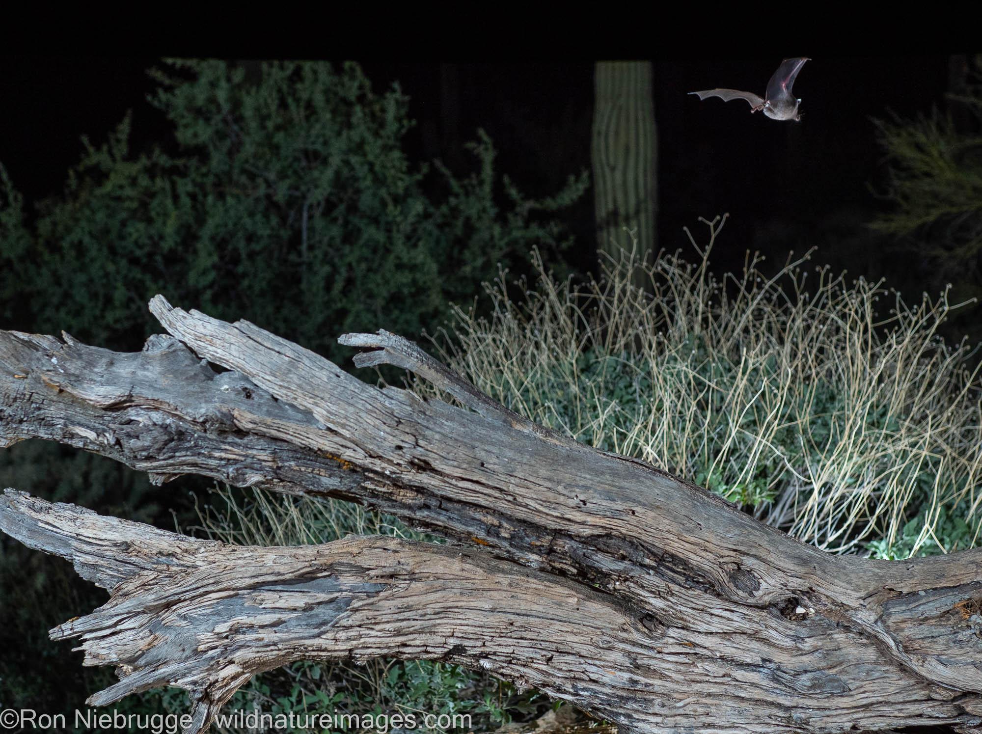 Bat, Tortolita Mountains, Marana, near Tucson, Arizona.