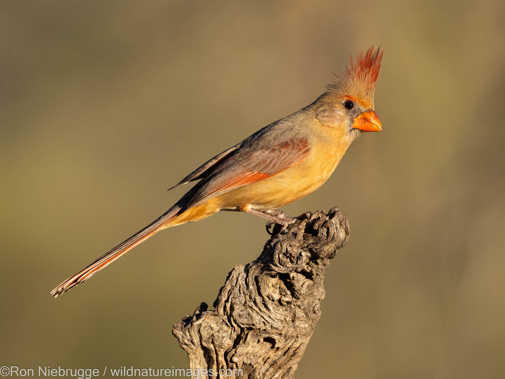 Northern Cardinal, Tortolita Mountains, Marana, near Tucson, Arizona.