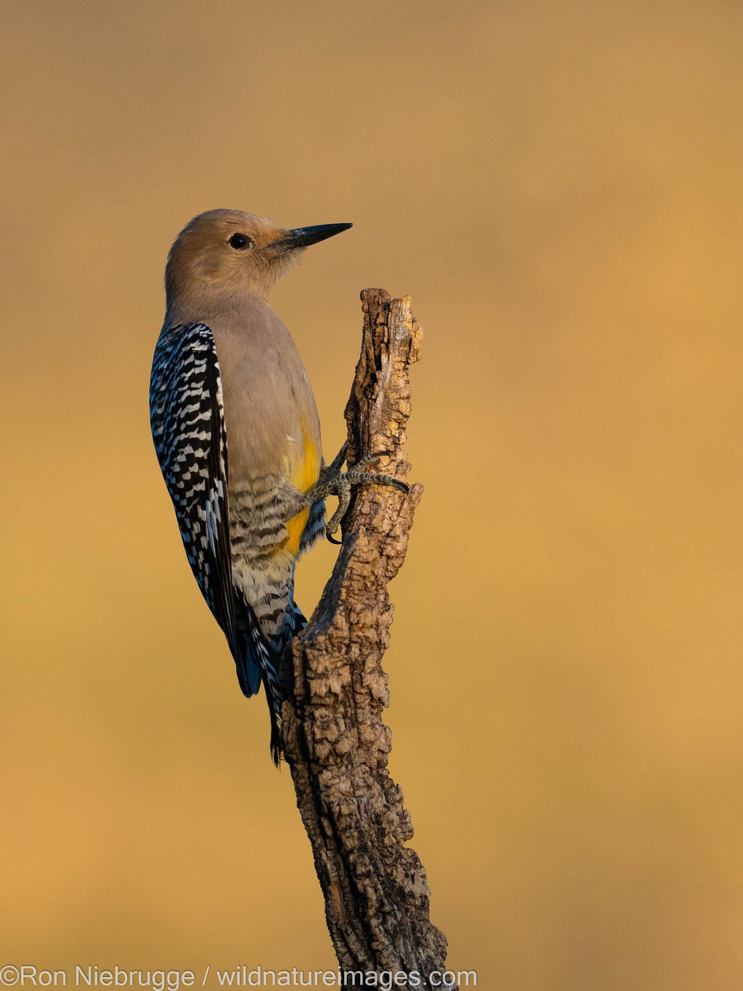 Gila Woodpecker, Tortolita Mountains, Marana, near Tucson, Arizona.