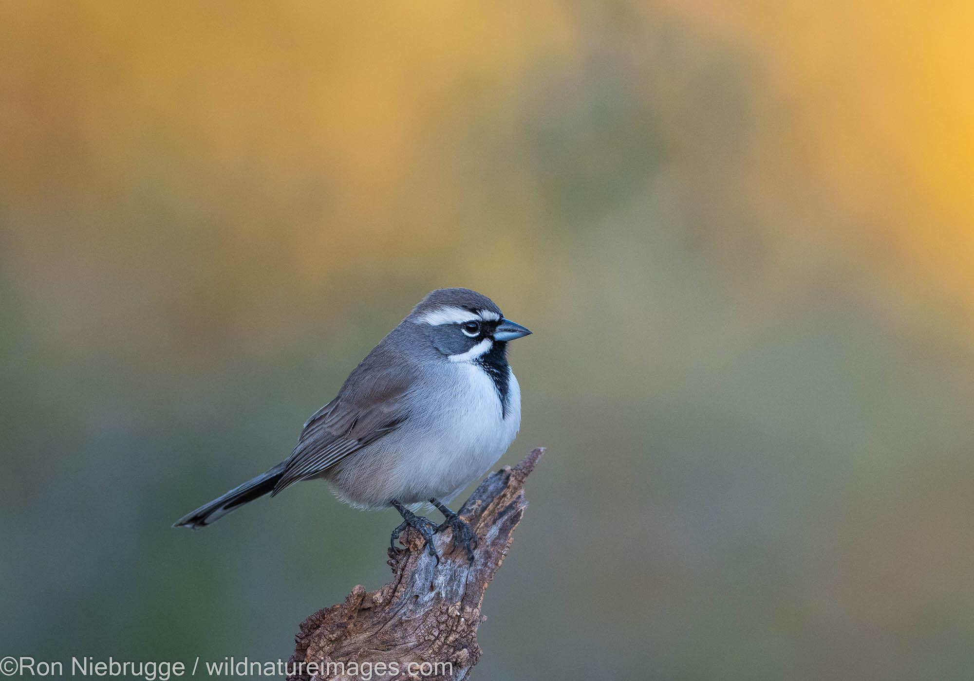 Black-throated Sparrow, Tortolita Mountains, Marana, near Tucson, Arizona.