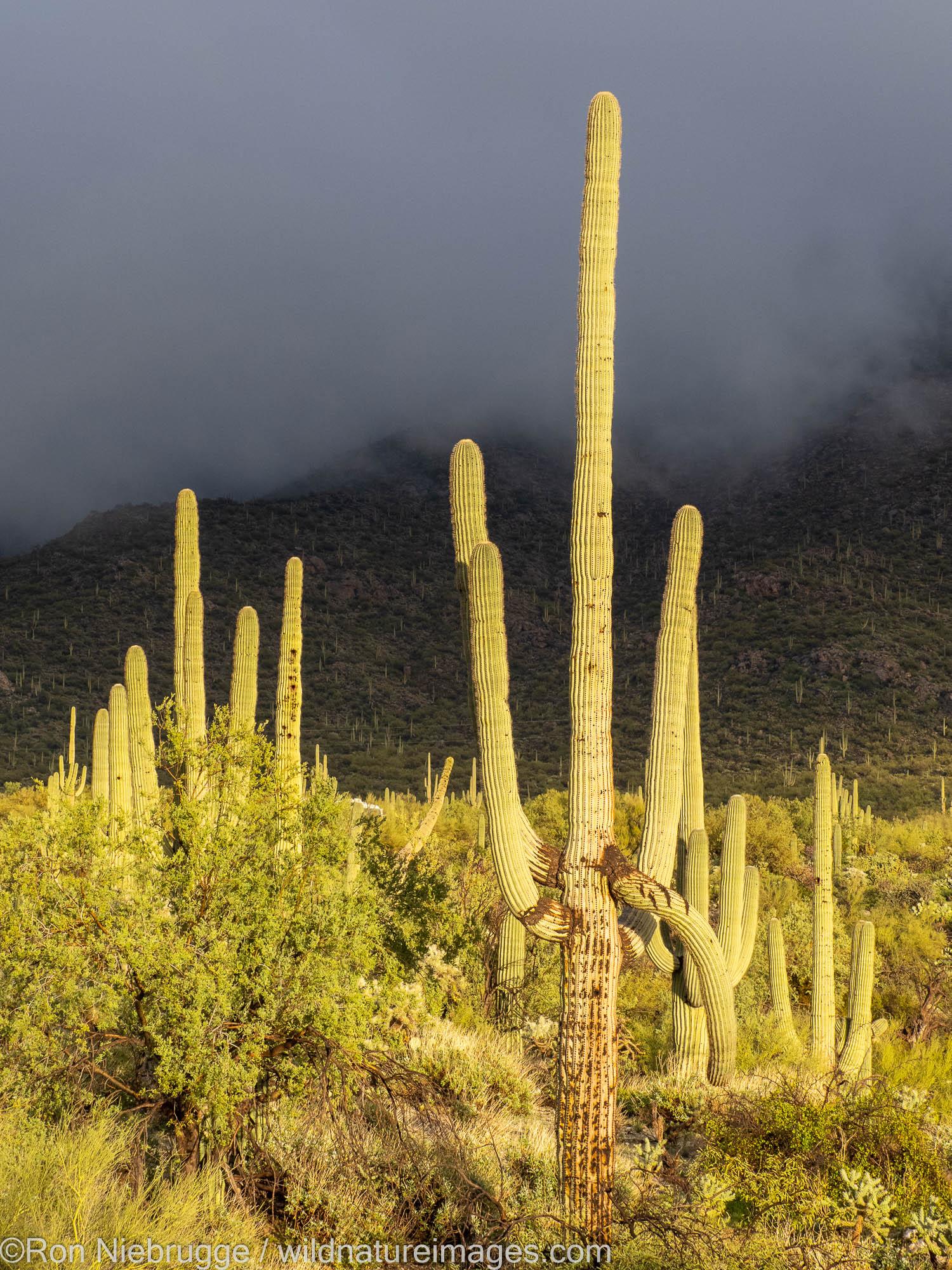 Saguaro cactus landscape, Tortolita Mountains, Marana, near Tucson, Arizona.
