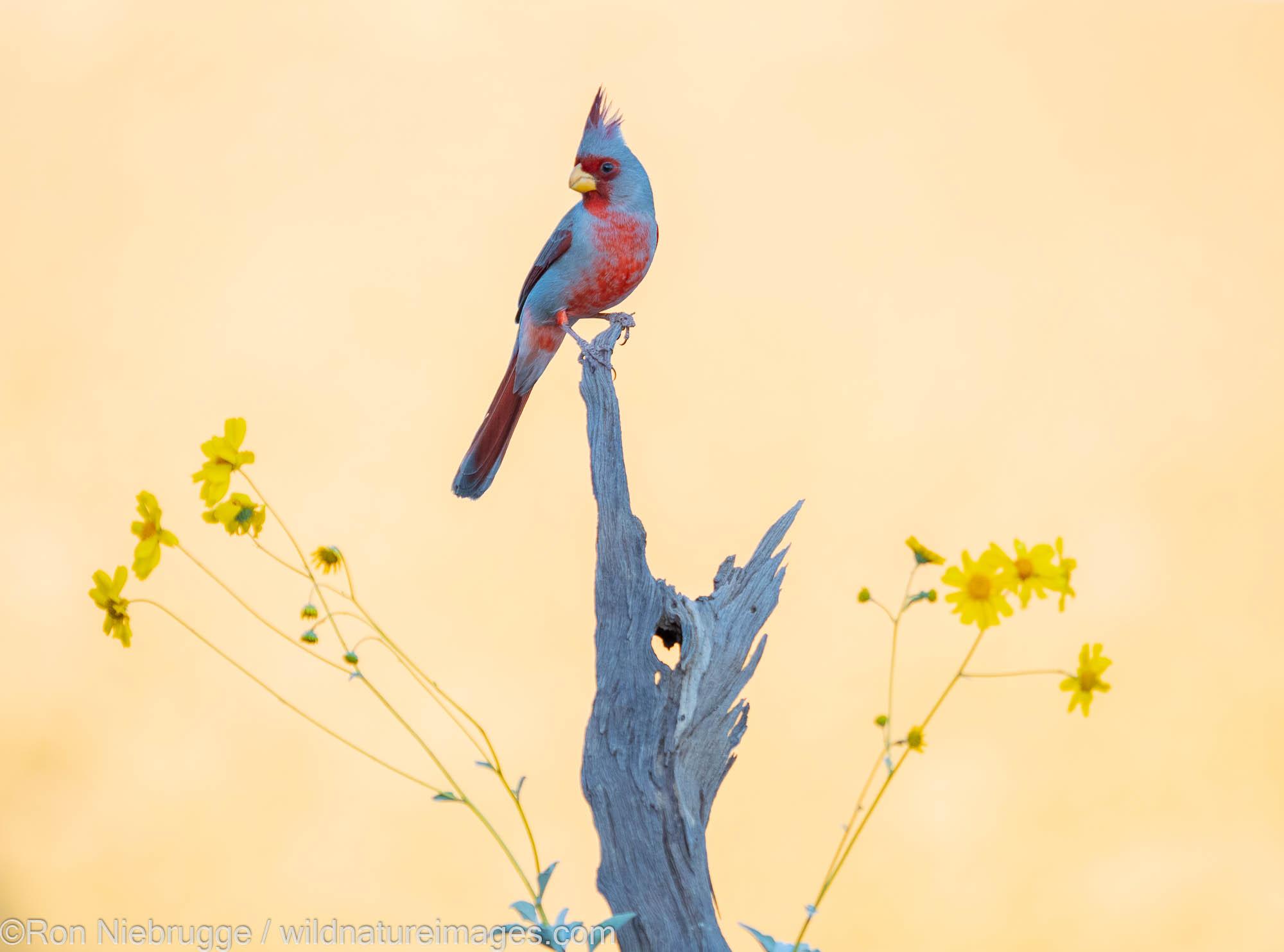 Pyrrholoxia, Marana, near Tucson, Arizona.