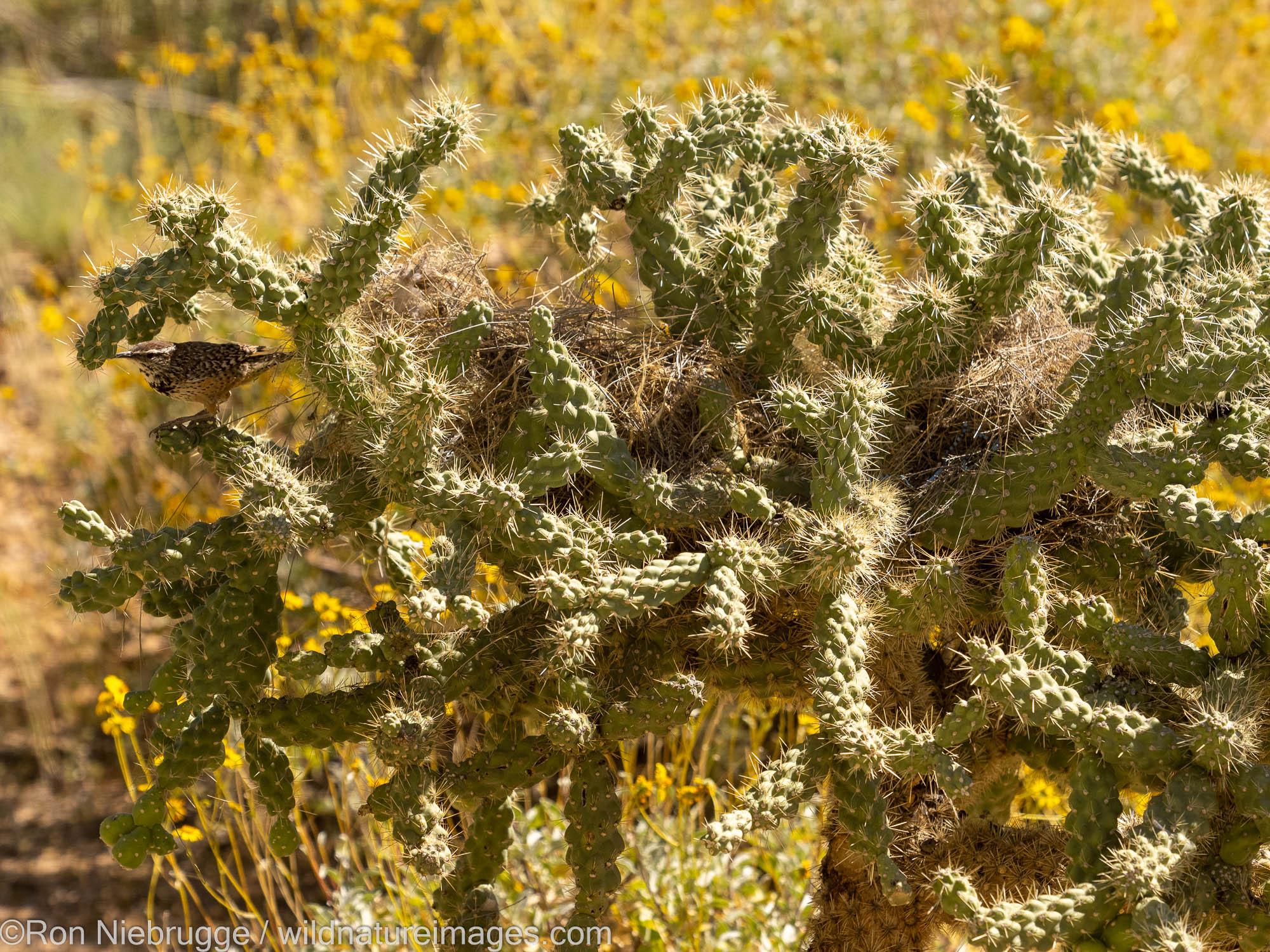 Cactus wren, Marana, near Tucson, Arizona.
