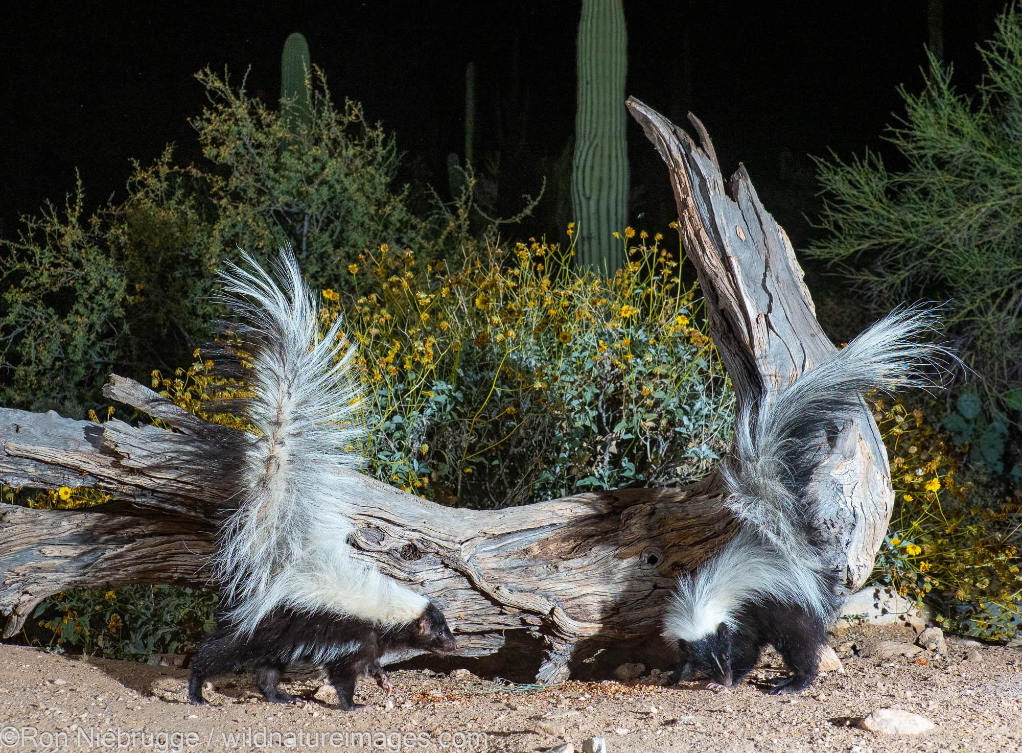 Hooded and Striped Skunks, Marana, near Tucson, Arizona.