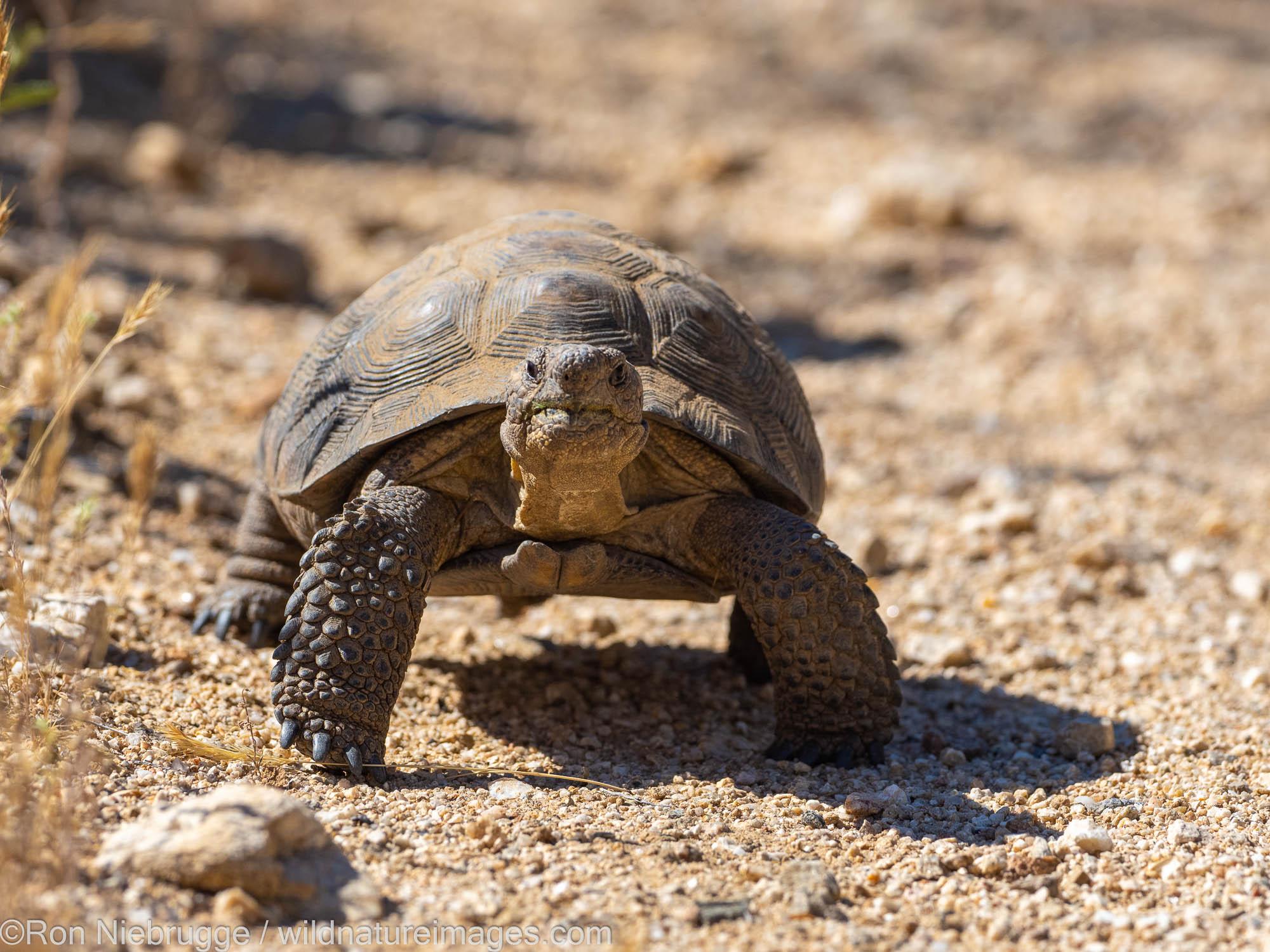 Sonoran Desert Tortoise, Marana, near Tucson, Arizona.