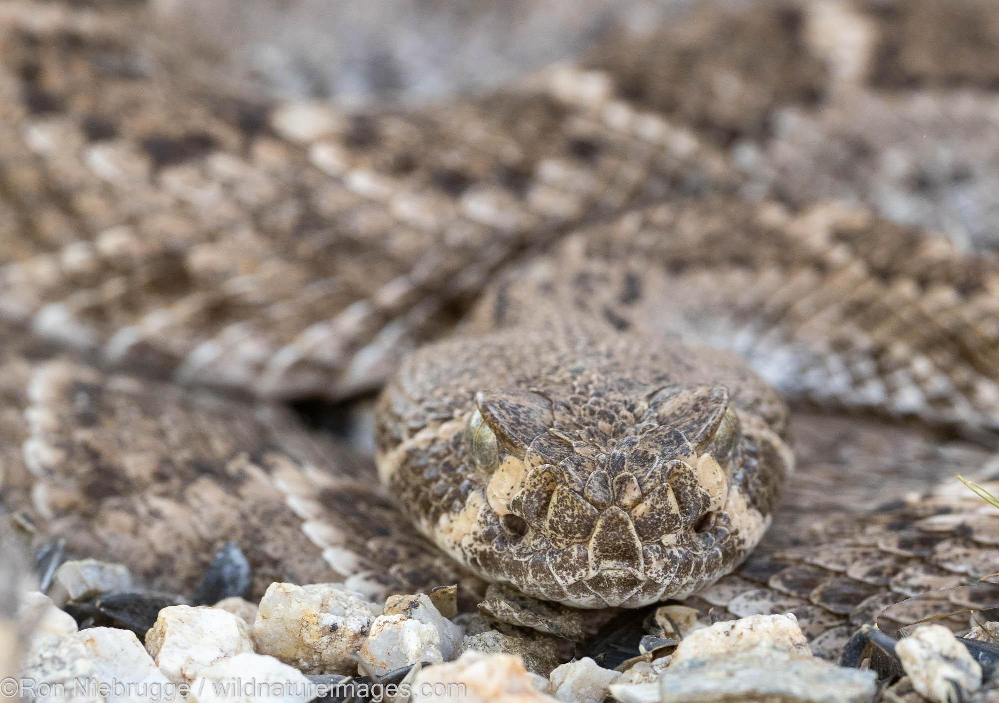 Western Diamondback Rattlesnake, Marana, near Tucson, Arizona.