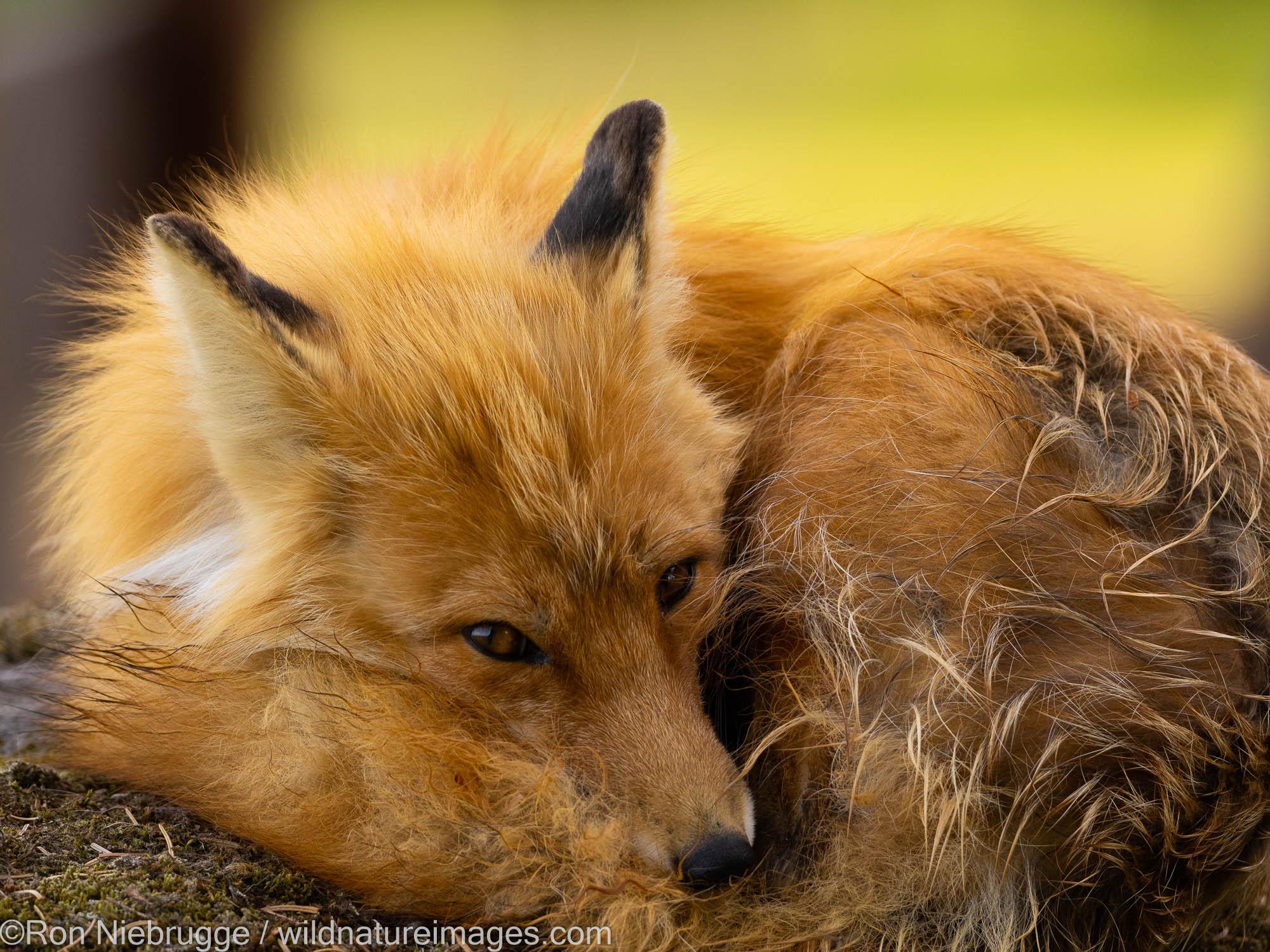 Red Fox, Lake Clark National Park, Alaska.