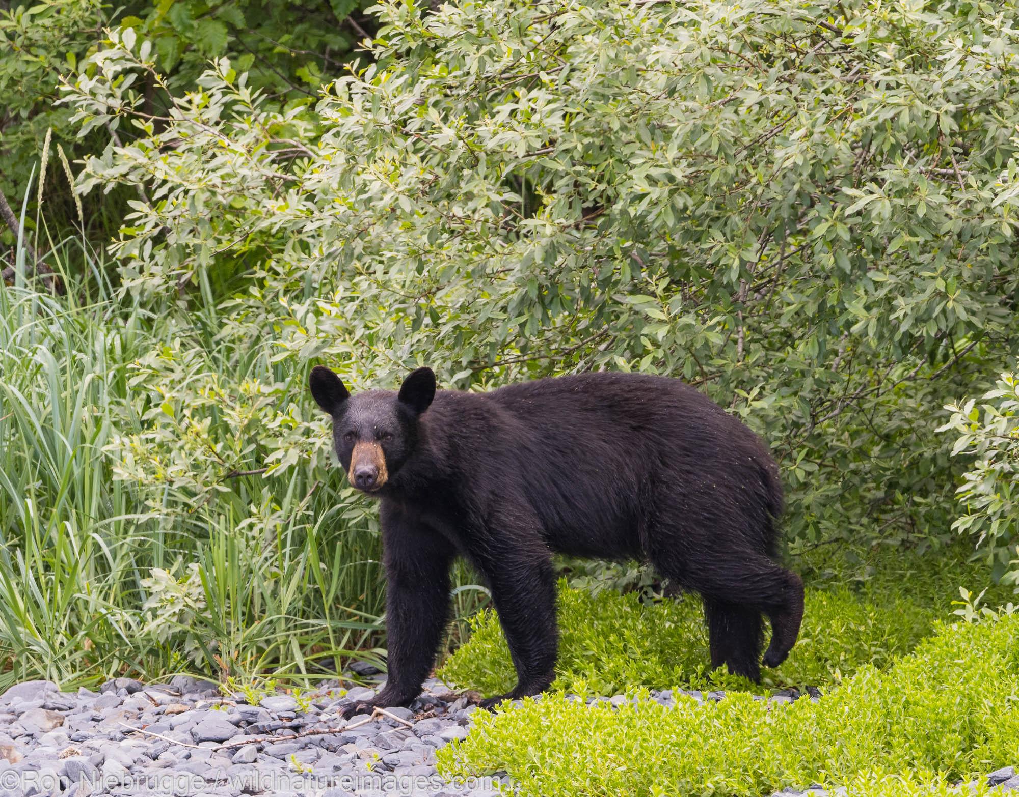 Black Bear, Aialik Bay, Kenai Fjords National Park, near Seward, Alaska.