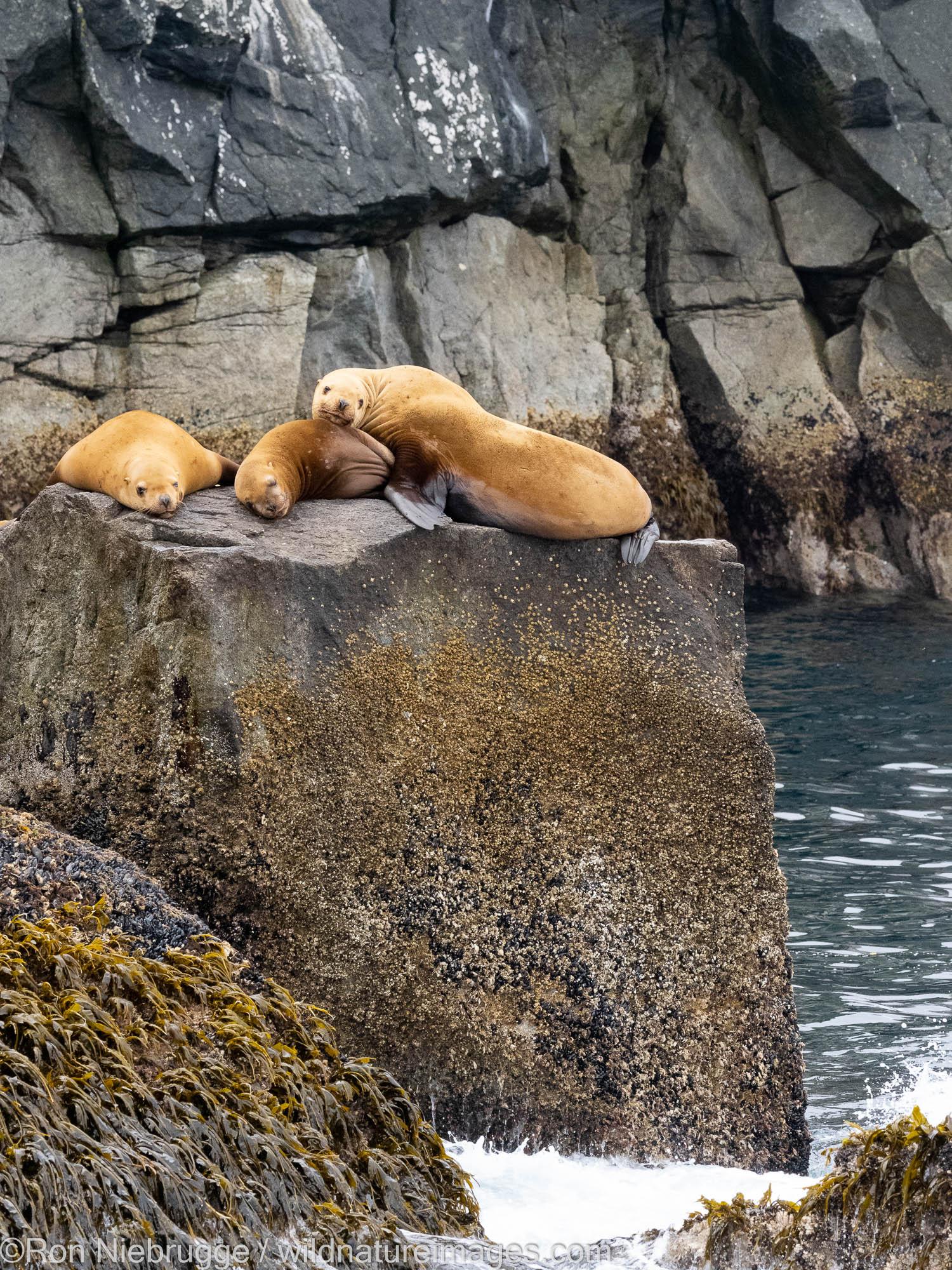 Steller Sea Lions, Kenai Fjords National Park, near Seward, Alaska.
