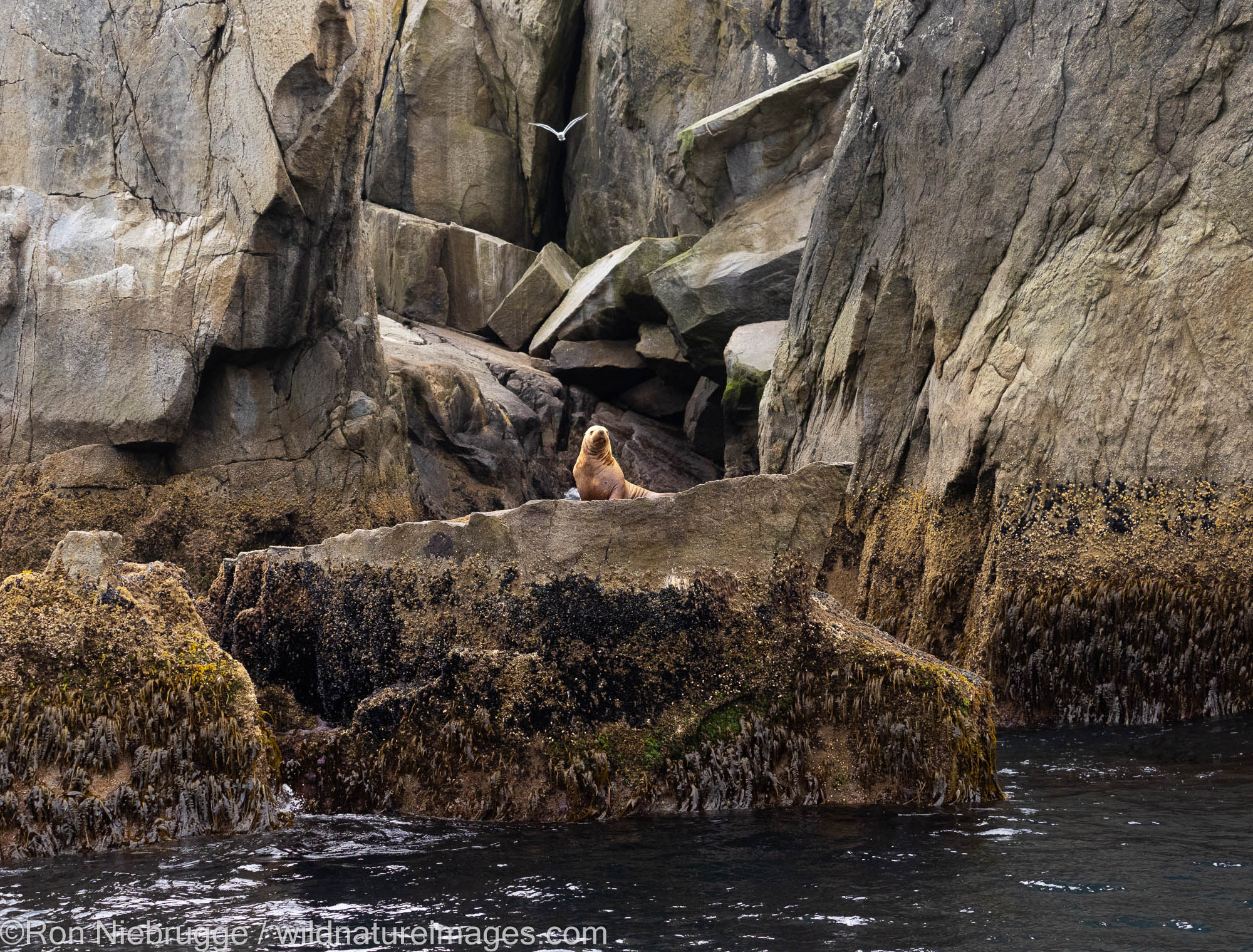 Steller Sea Lion, Kenai Fjords National Park, near Seward, Alaska.
