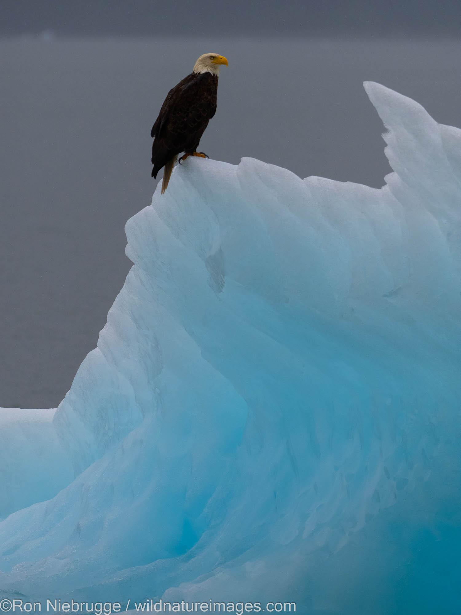 Bald eagle, Endicott Arm, Tongass National Forest, Alaska.