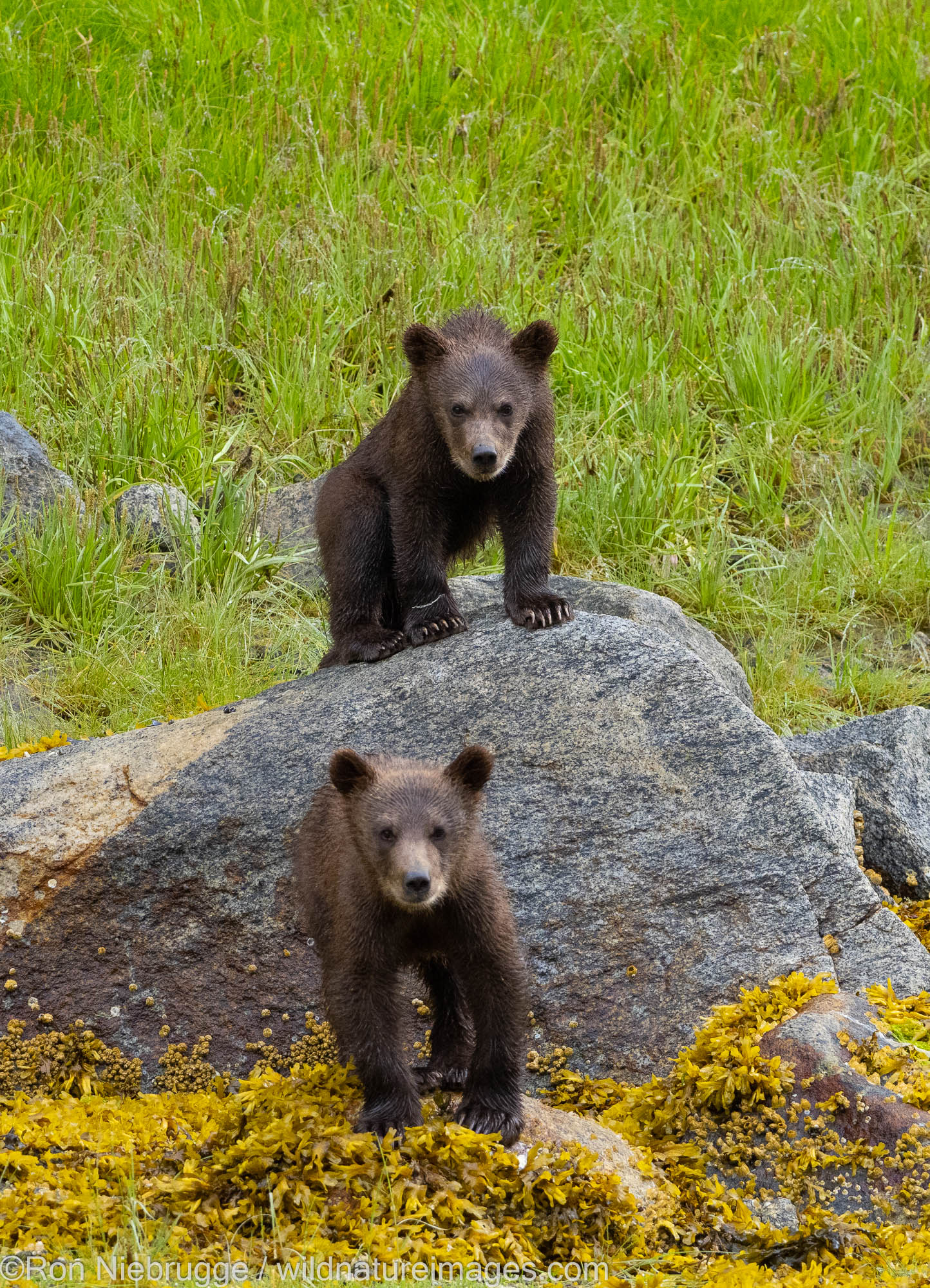 Brown bears, Ford's Terror, Tongass National Forest, Alaska.