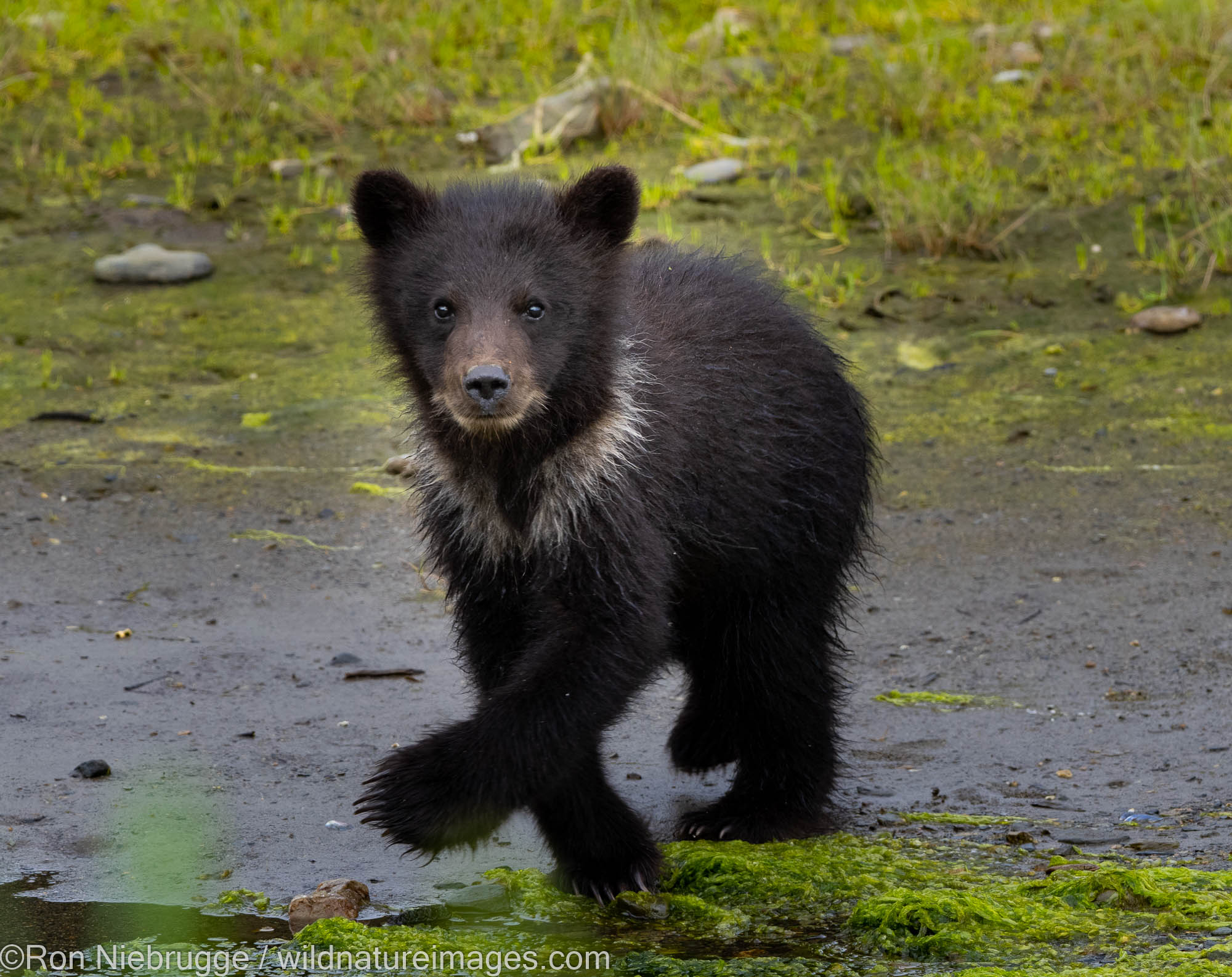 Brown bears, Pack Creek Bear Viewing Area ,Tongass National Forest, Alaska.