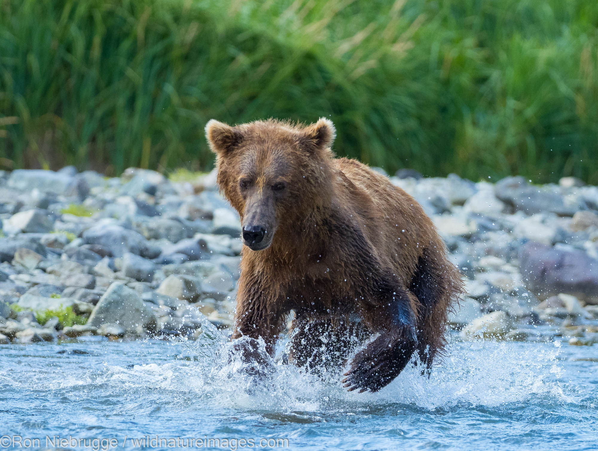 A Brown or Grizzly Bear, Geographic Harbor, Katmai National Park, Alaska.