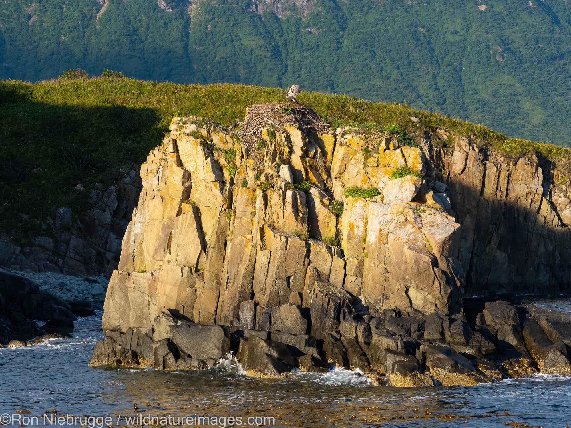 Bald Eagle nest, Katmai National Park, Alaska.