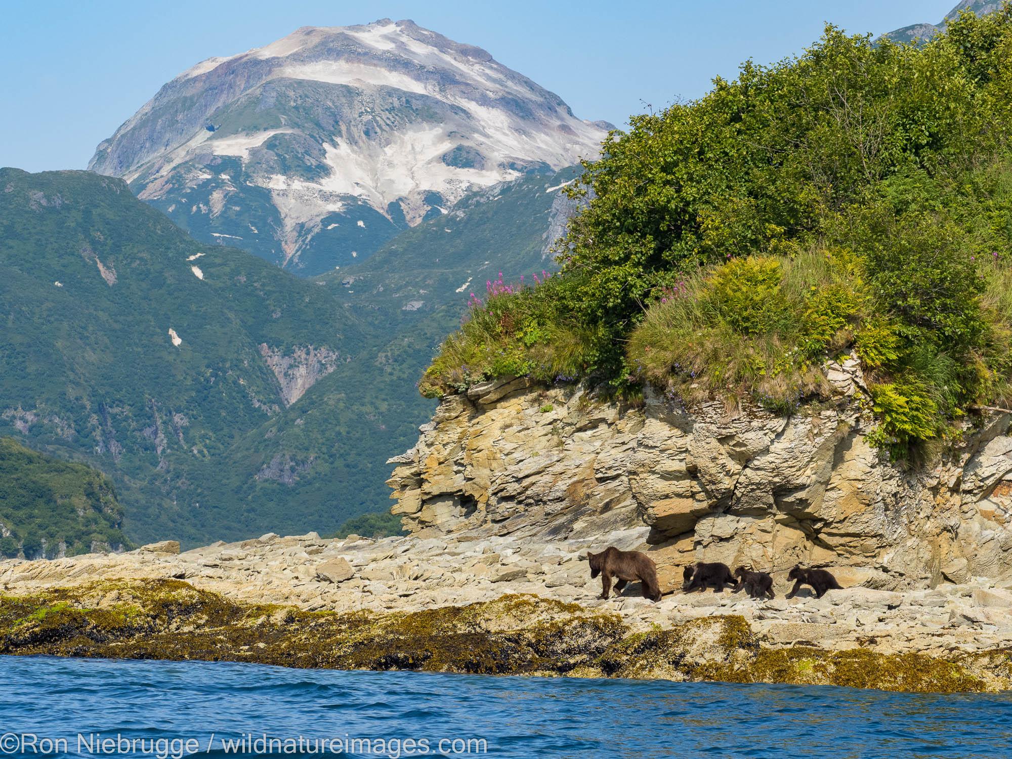 A Brown or Grizzly Bear, Kinak Bay, Katmai National Park, Alaska.