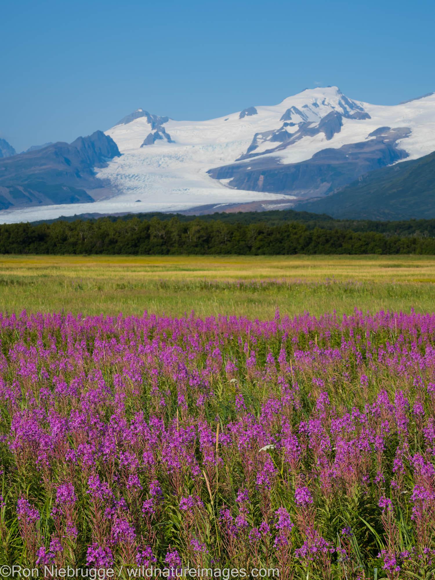 Field of fireweed, Hallo Bay, Katmai National Park, Alaska.