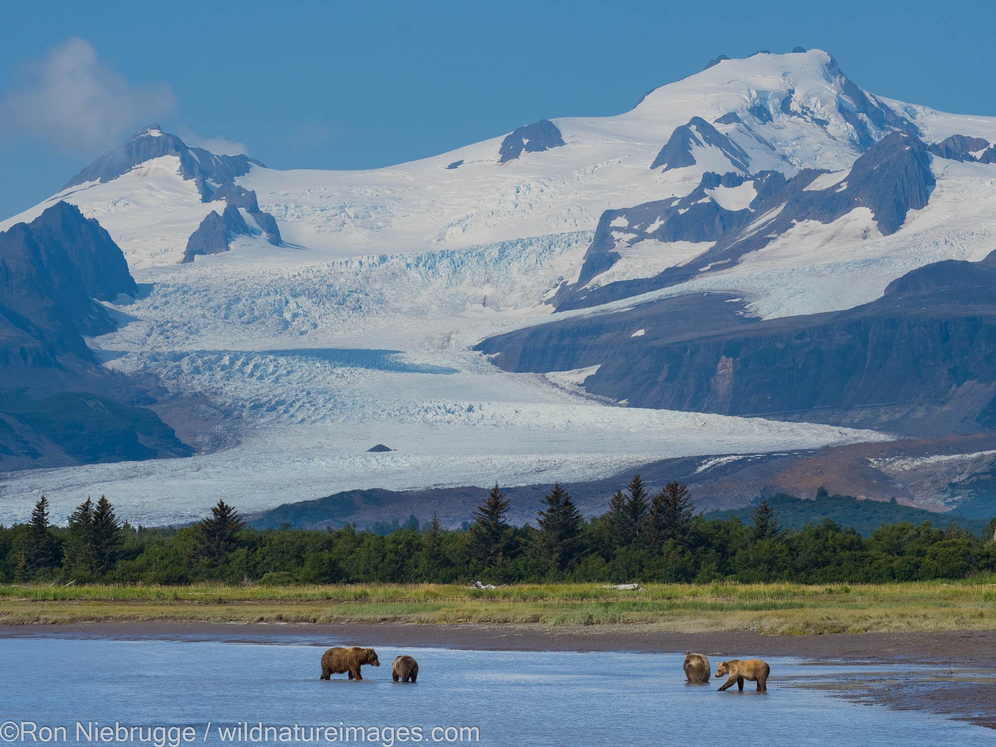 A Brown or Grizzly Bear, Hallo Bay, Katmai National Park, Alaska.