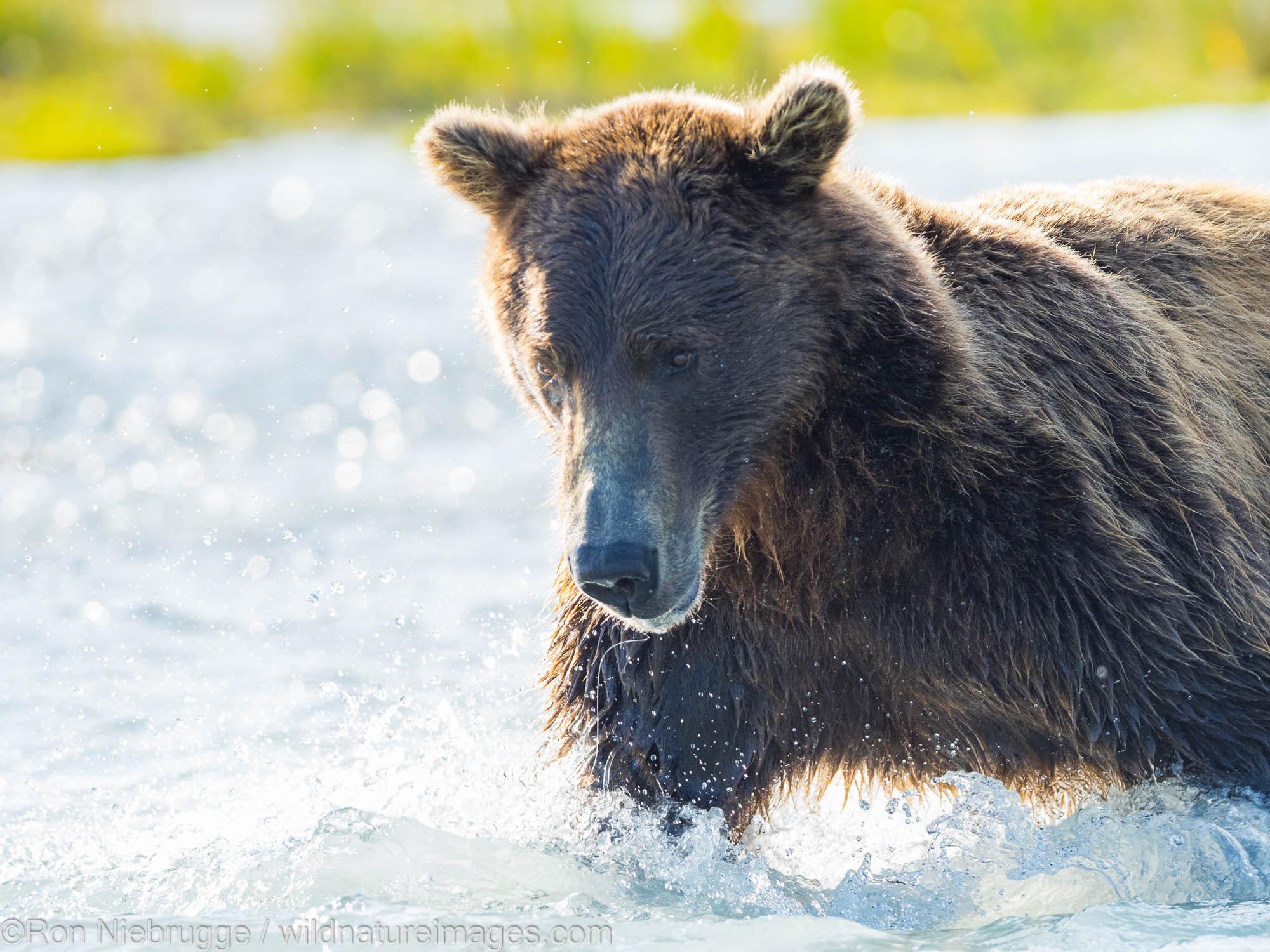 A Brown or Grizzly Bear, Kukak Bay, Katmai National Park, Alaska.