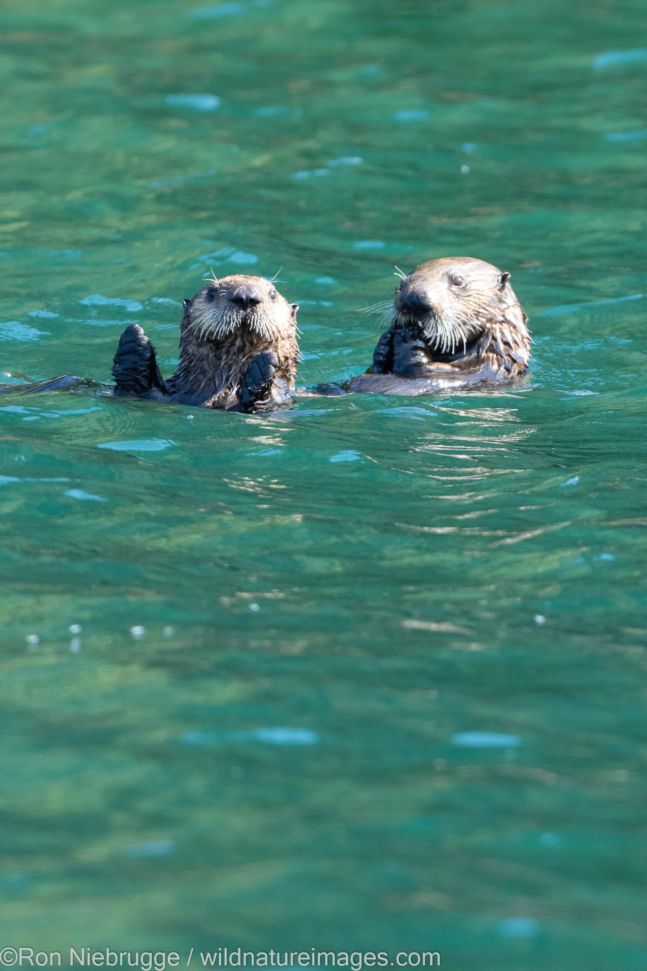 Sea otters, Kodiak, Alaska.