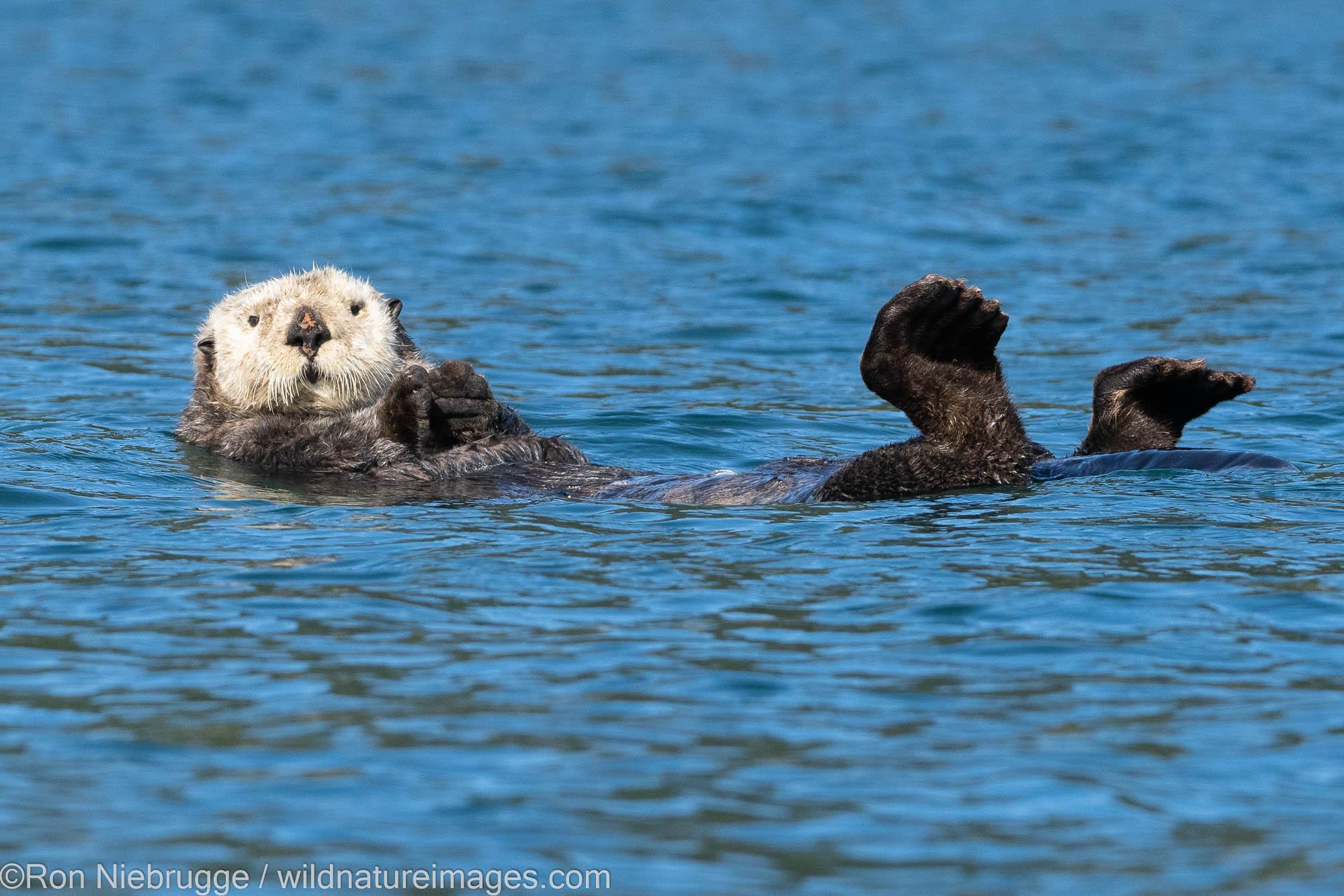 Sea Otter, Kodiak, Alaska.