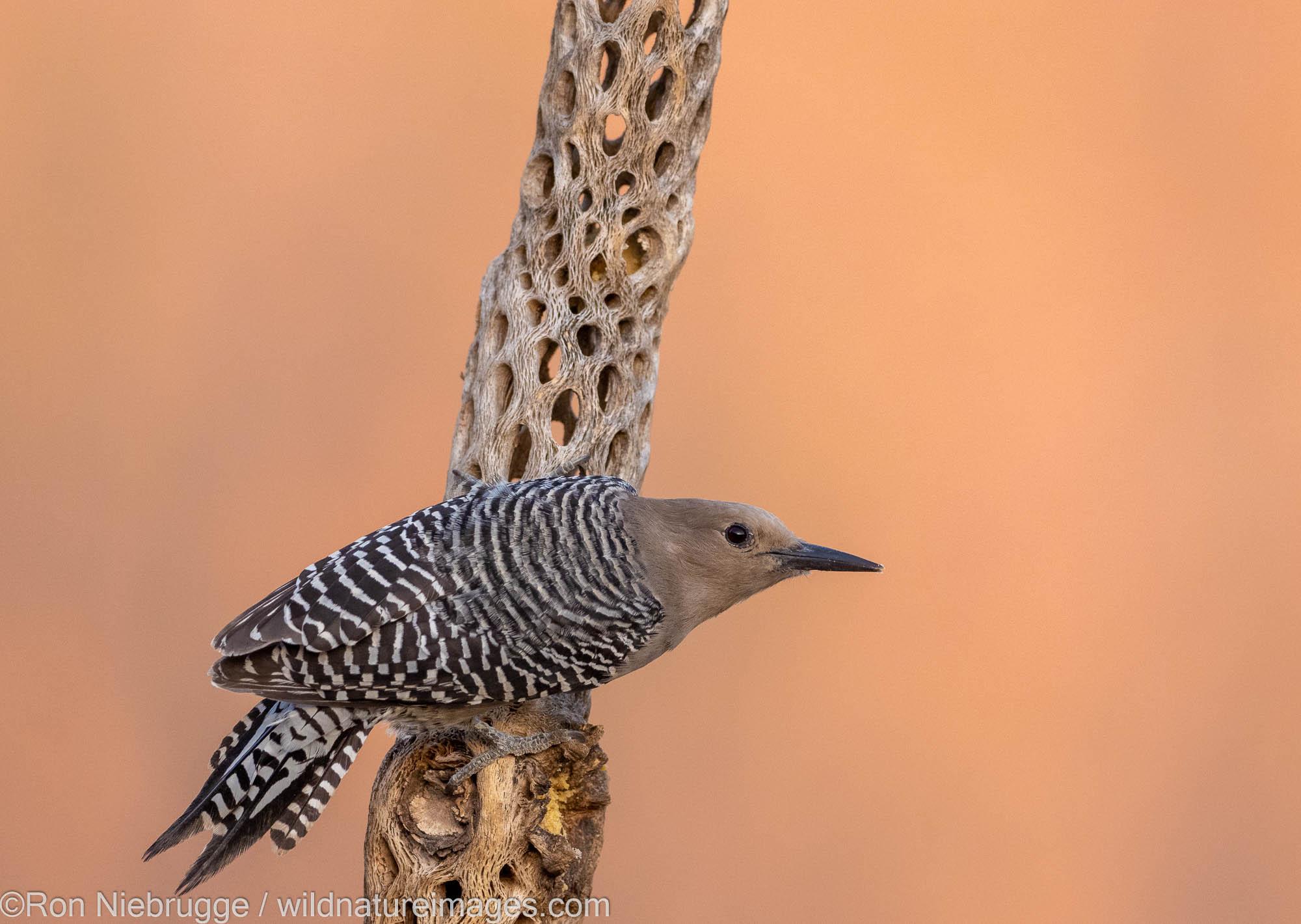 Gila Woodpecker, Marana, near Tucson, Arizona.
