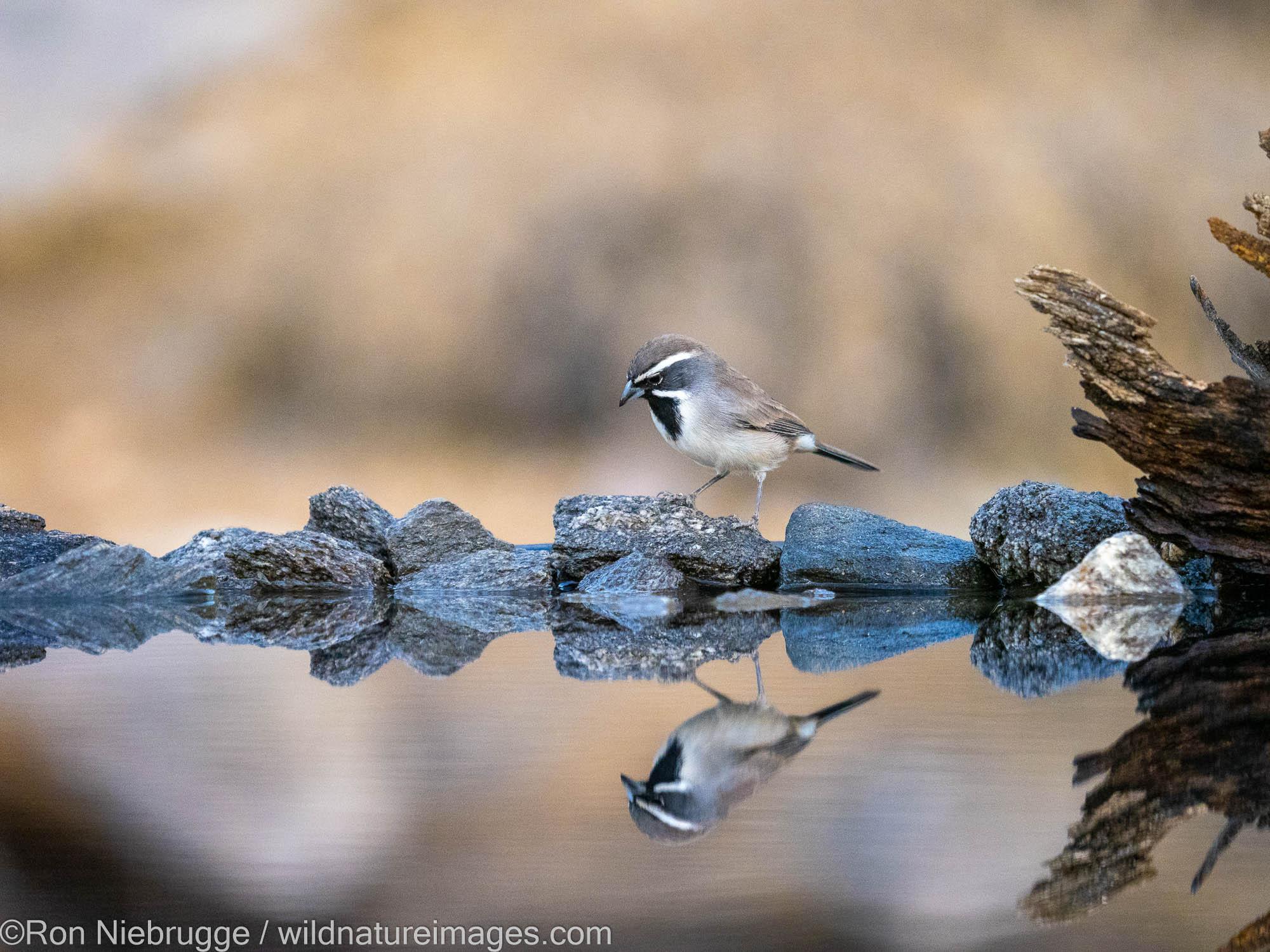 Black-throated Sparrow, Marana, near Tucson, Arizona.