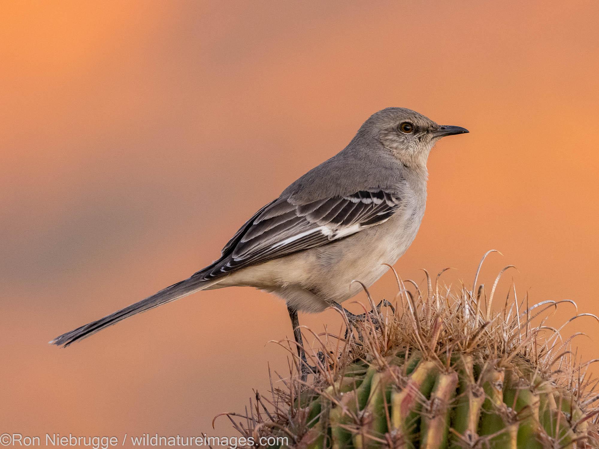 Northern Mockingbird, Marana, near Tucson, Arizona.