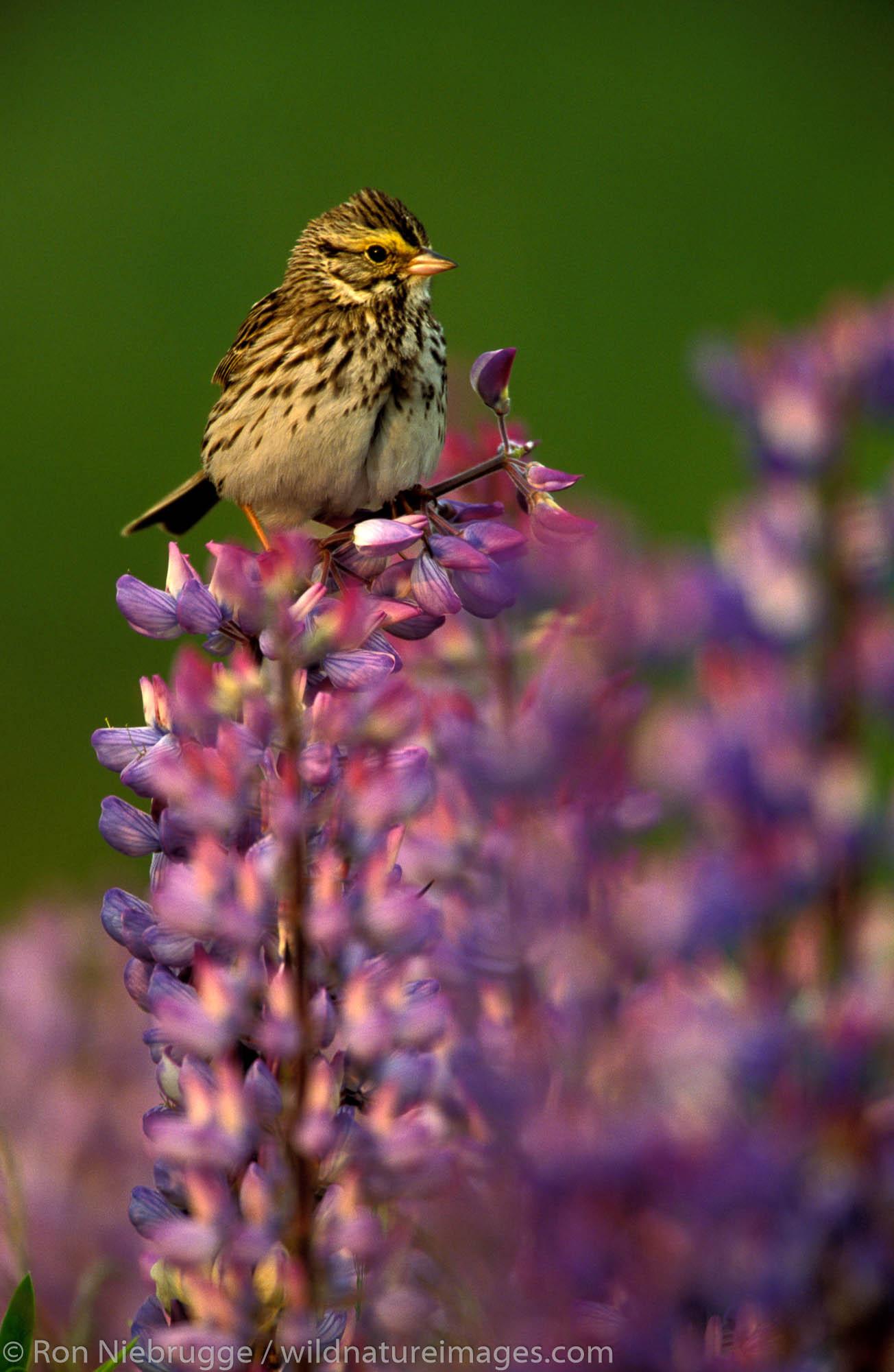 Savannah Sparrow on Lupine (Passerculus sandwichensis).  Kenai Peninsula, Seward, Alaska.