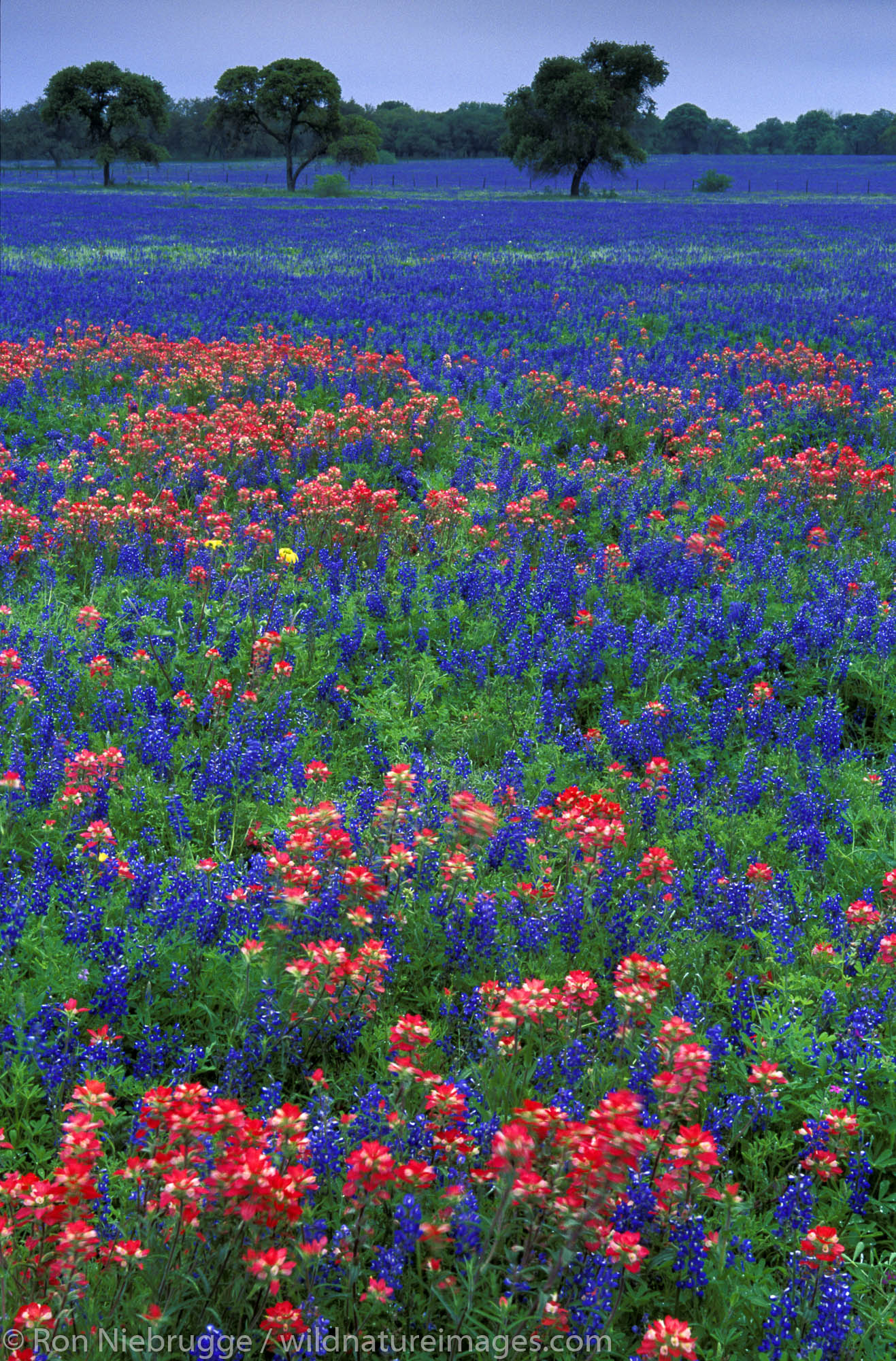 Field of Indian Paintbrush and Bluebonnet, Central Texas.
