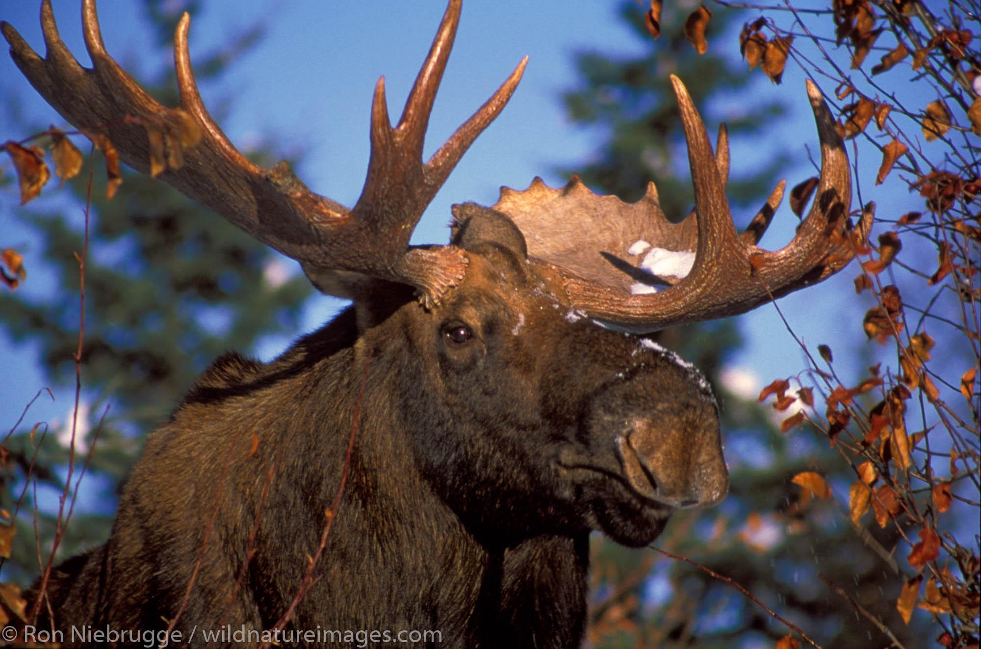 A bull moose, Anchorage, Alaska.