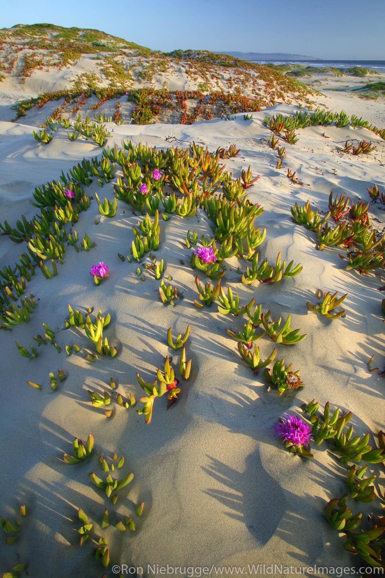 Sand Dunes with Sea Fig (Carpobrotus chilensis), Pismo State Beach,  California.