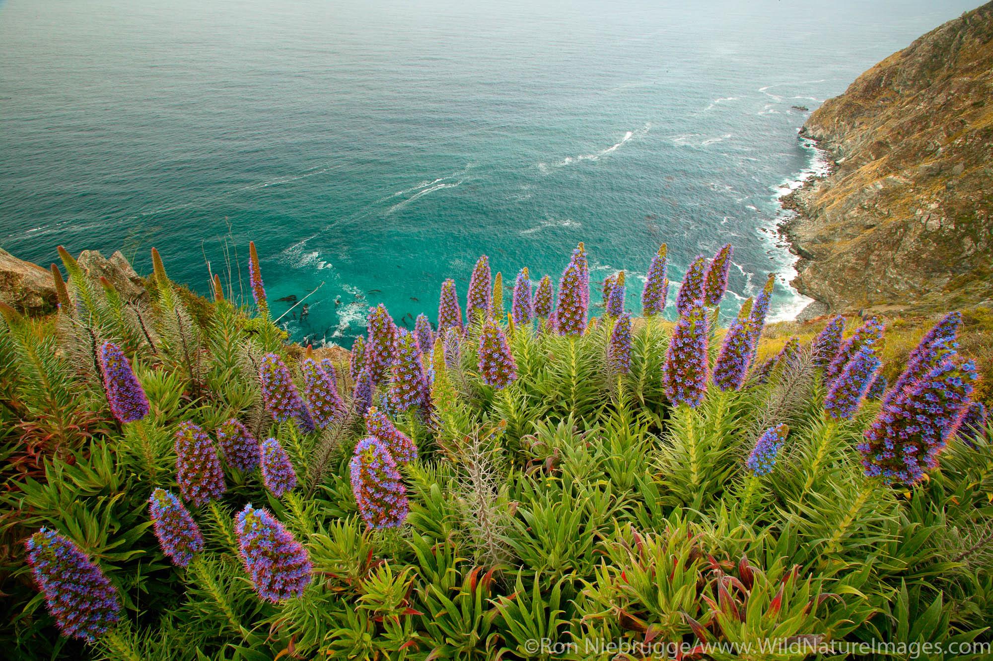 Wildflowers along the Big Sur Coastline, California.