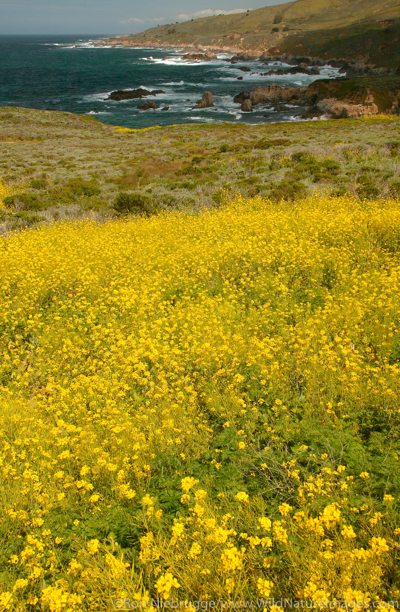 Fields of wildflowers along Highway one and the Big Sur coast, California.