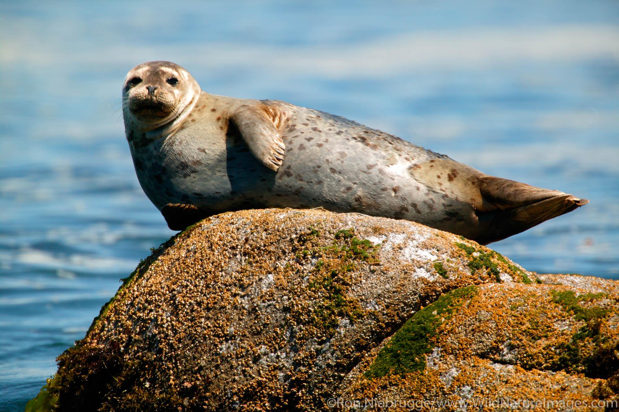 Harbor Seal (Phoca vitulina) on rock.  Monterey Peninsula, Pacific Grove, California.