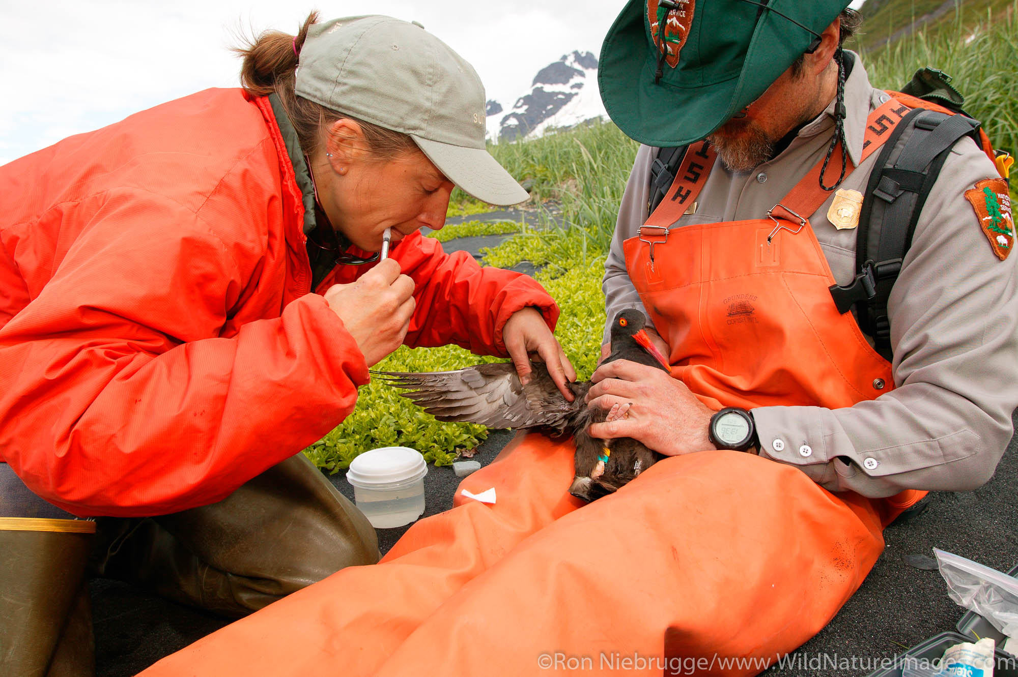 National Park Service employees Mike Tetreau and researcher Julie Morse draw blood from a Black Oystercatcher in Ailiak Bay...