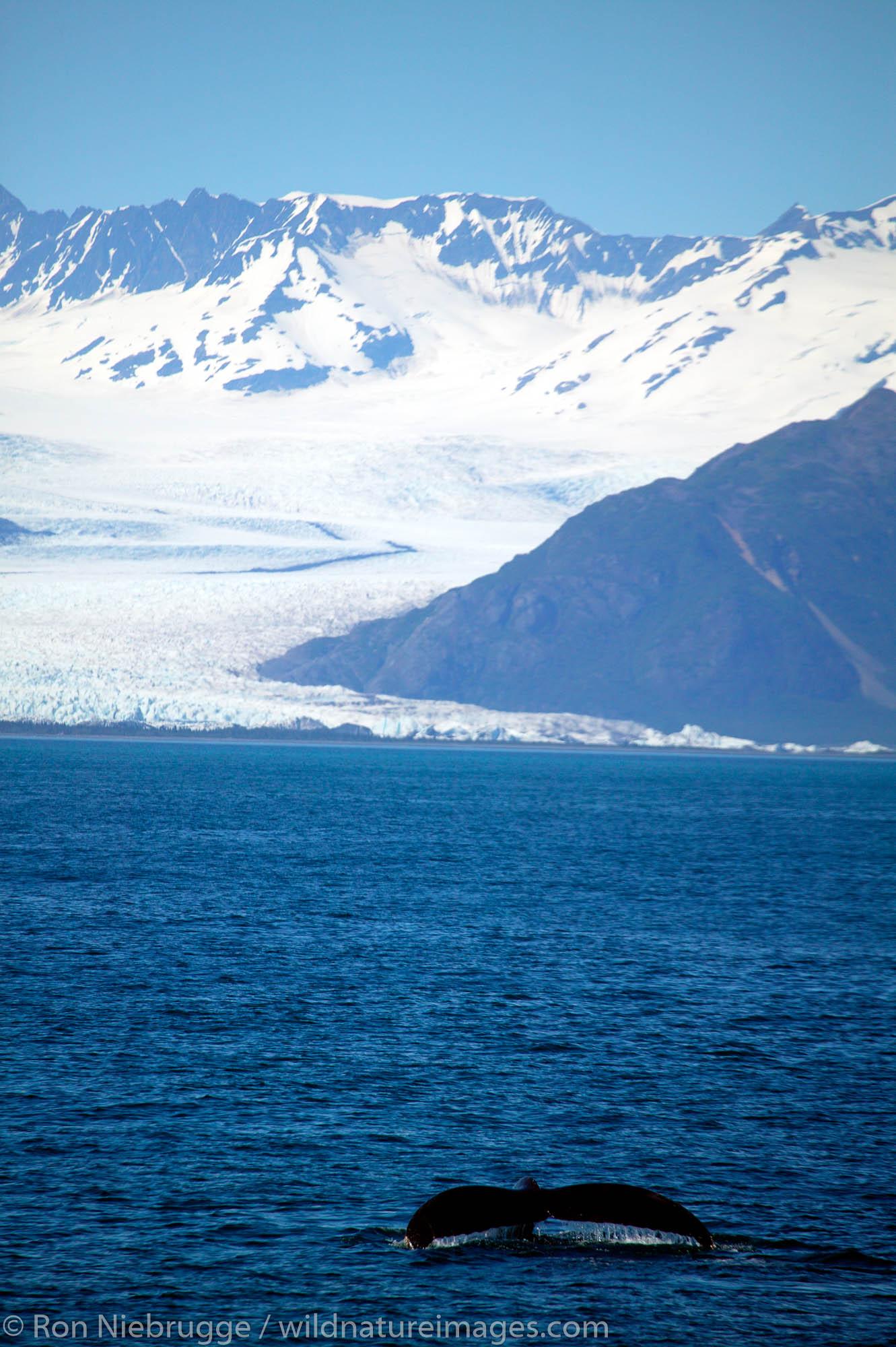 Humpback whale in front of Bear Glacier, on Major Marine Tour on Resurrection Bay, near Seward, Alaska.