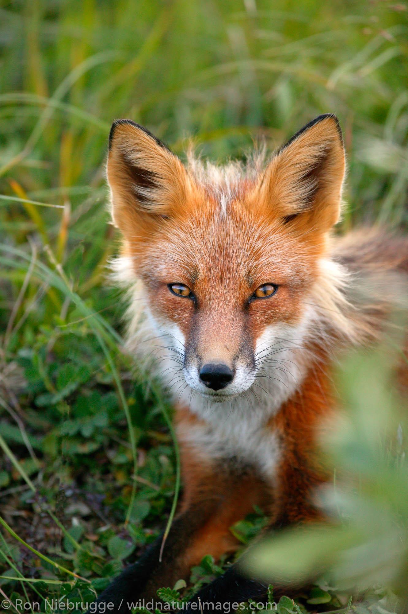 Denali National Park, Alaska, photo, picture, red fox, photo