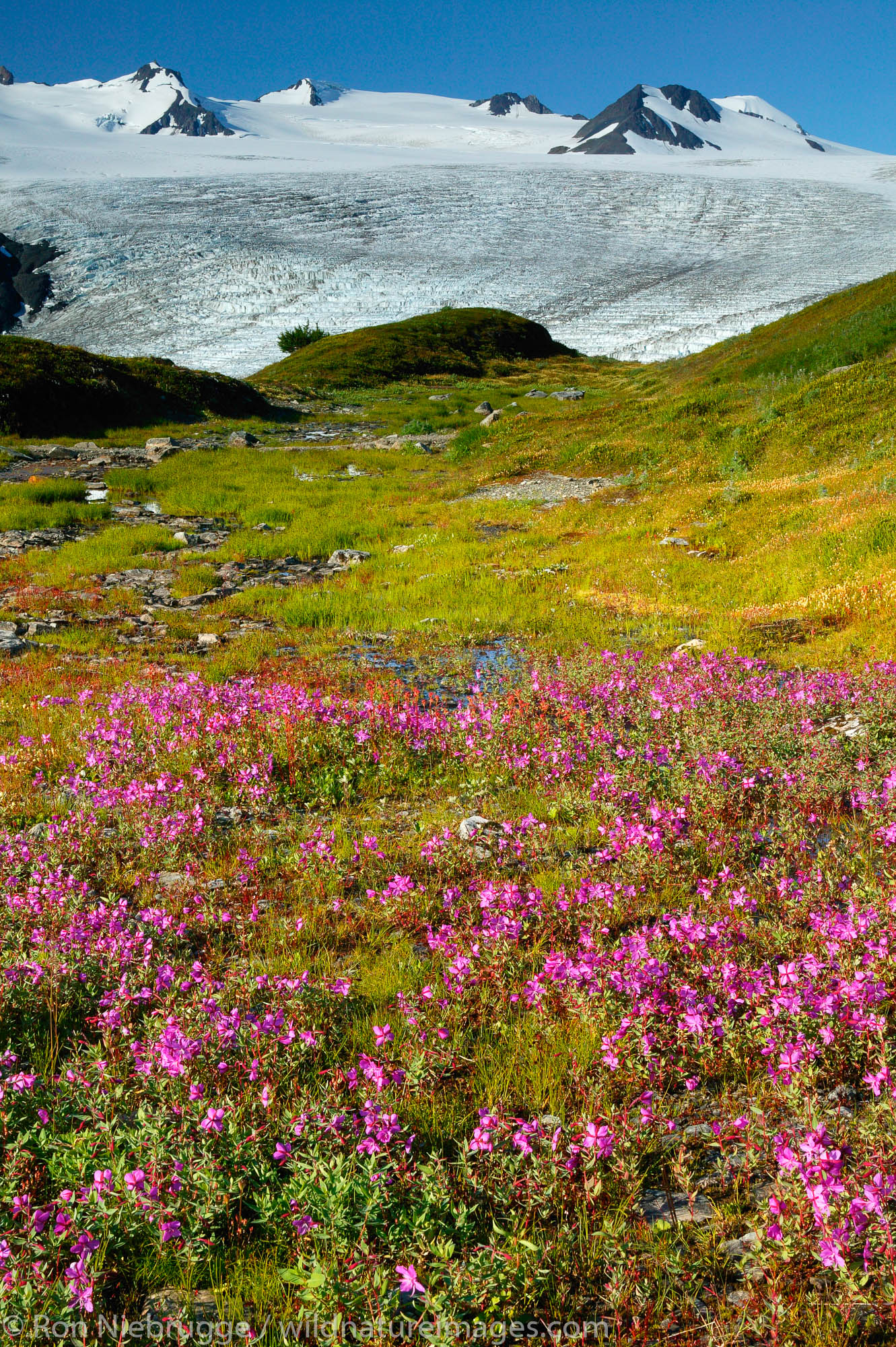 Wildflowers along Exit Glacier and the Harding Icefield trail, Kenai Fjords National Park, Alaska.