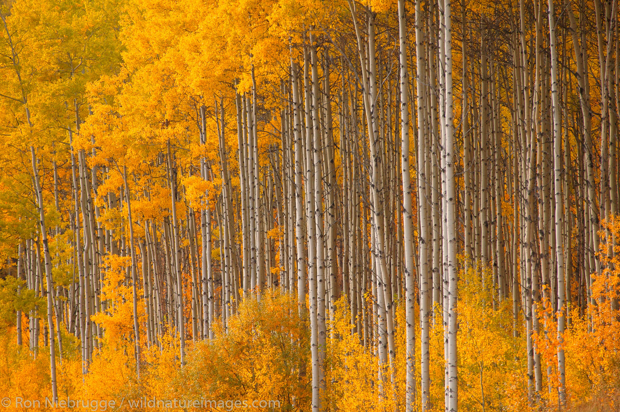 Fall trees (Poplars) near Grand Cache, along the Bighorn Highway Alberta Highway 40, Alberta, Canada.