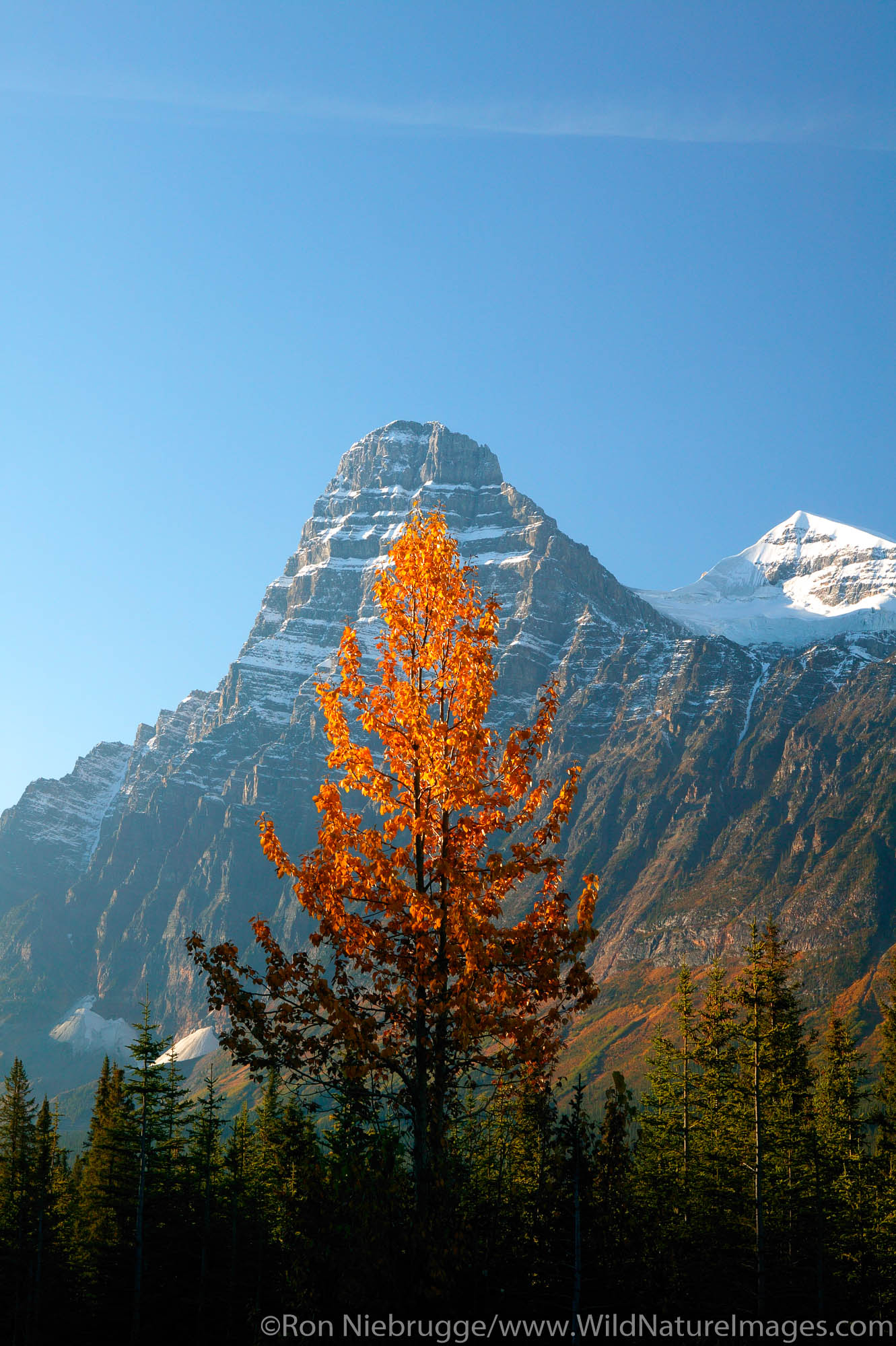Fall colors and Mount Chephren, Banff National Park, Alberta, Canada.
