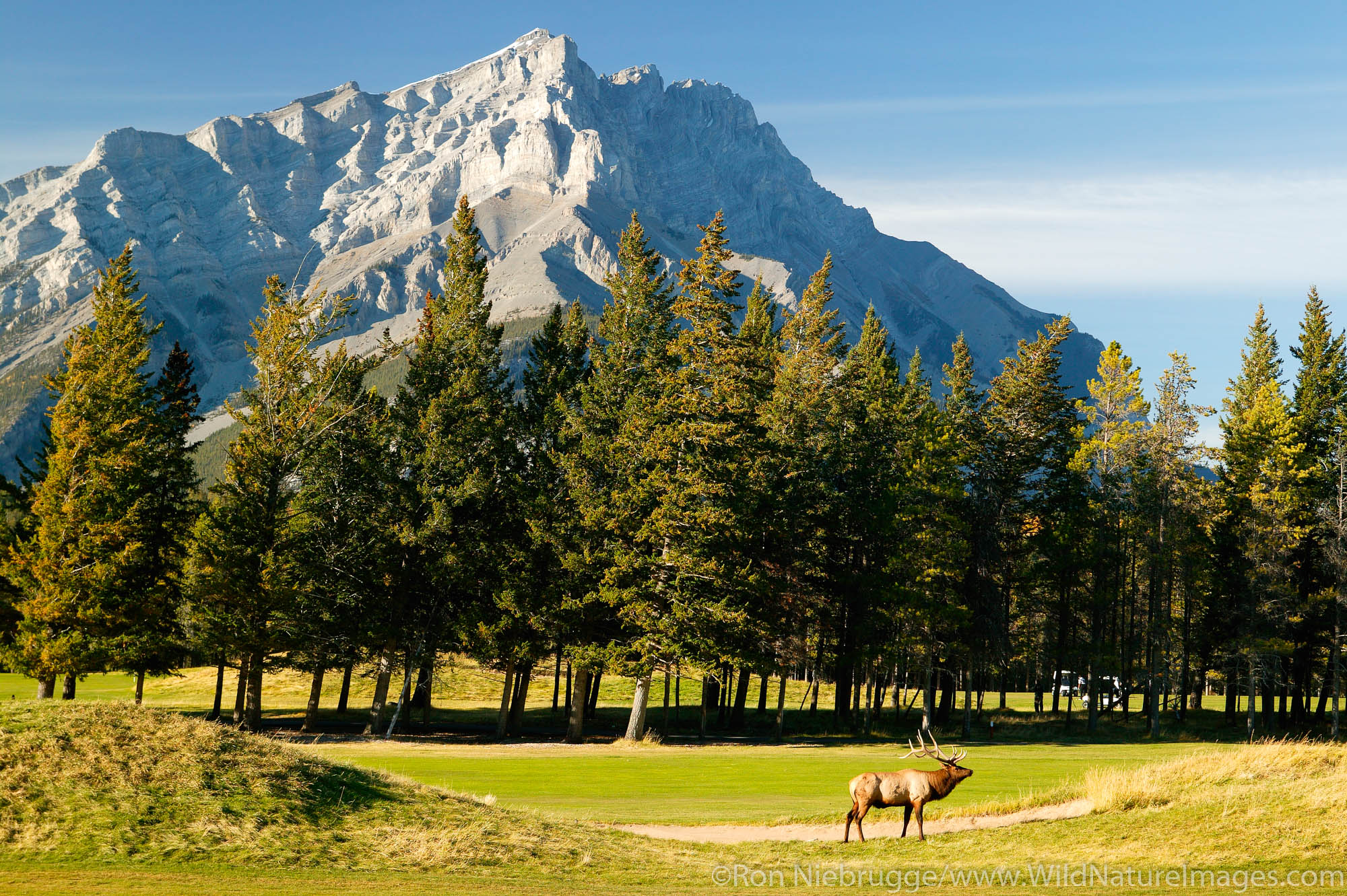 Elk on the golf course in Banff, Cascade Mountain in the background, Banff National Park, Alberta, Canada.
