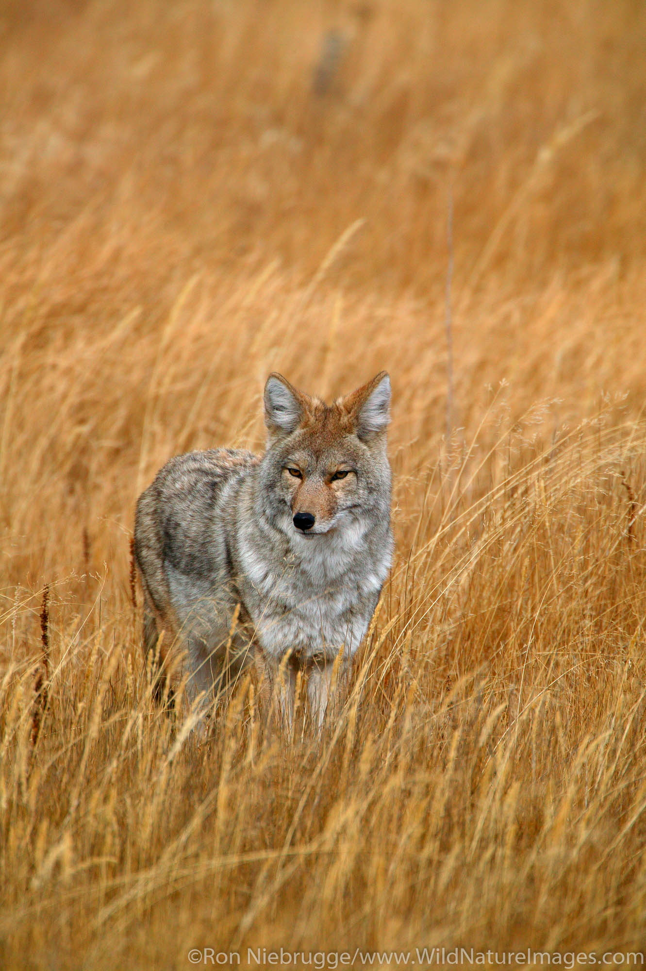 coyote, Yellowstone , photo