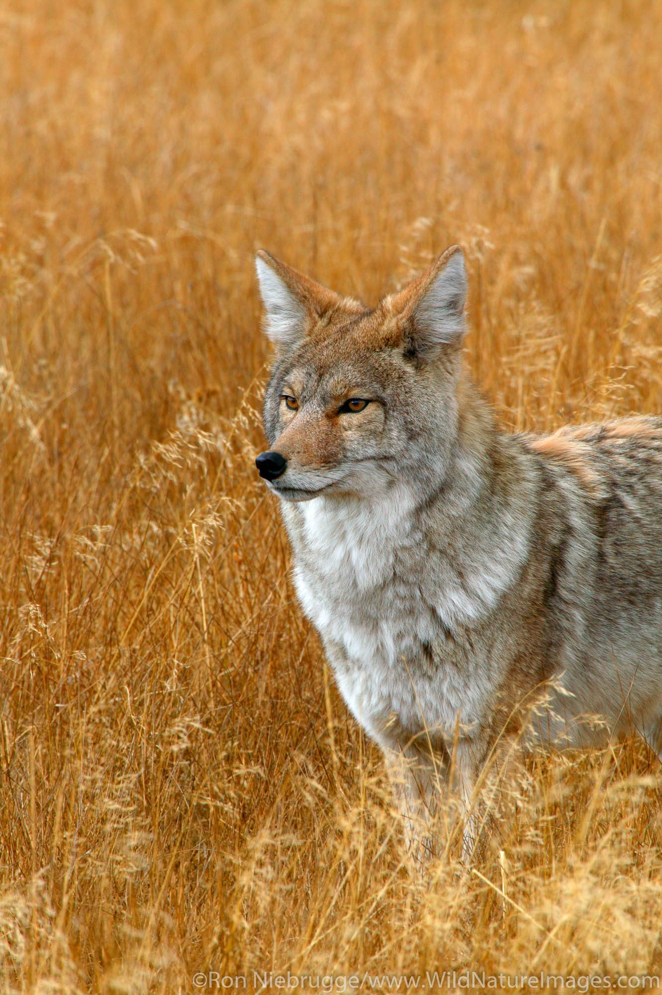 Coyote near Norris, Yellowstone National Park, Wyoming.